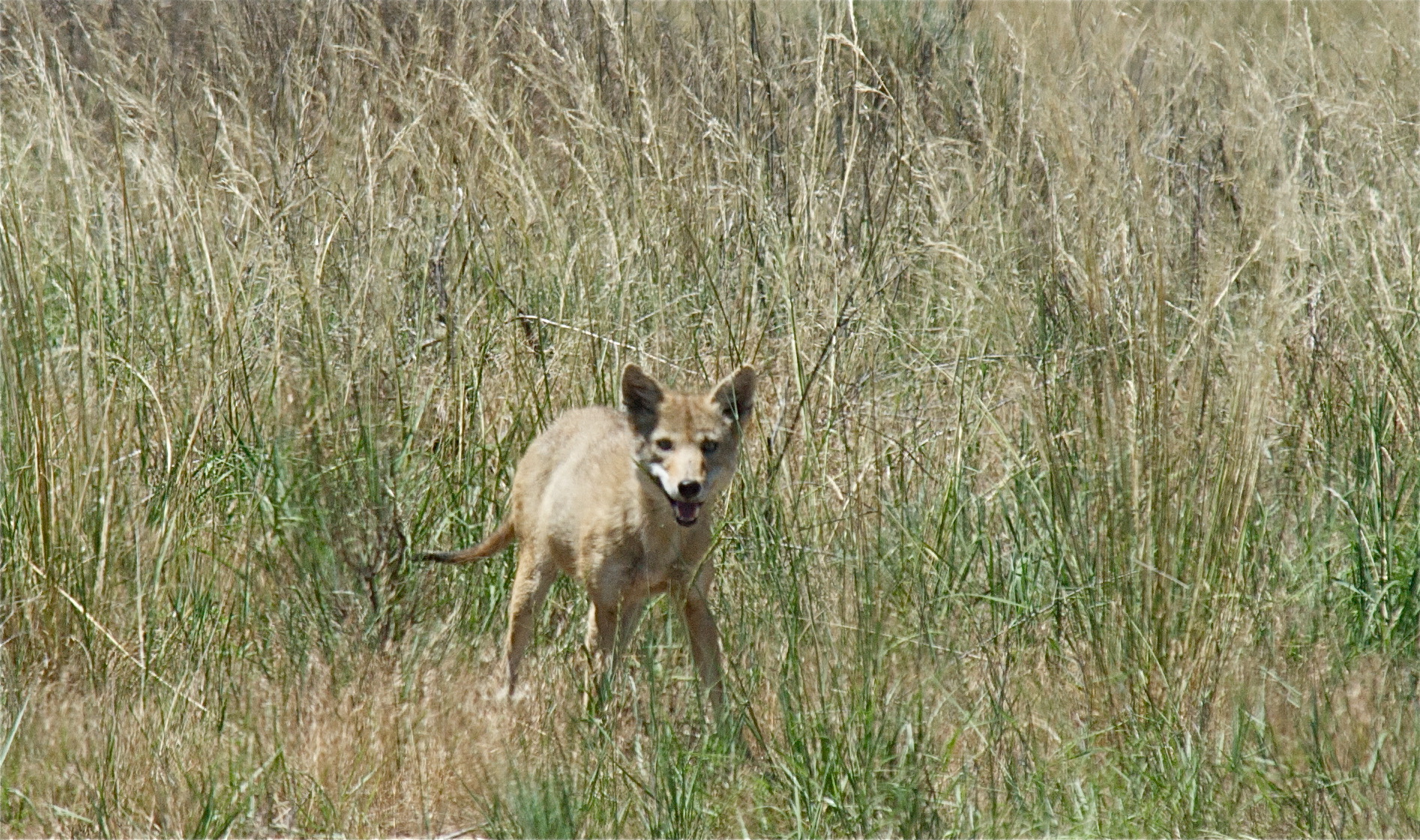 Coyote at Bravo