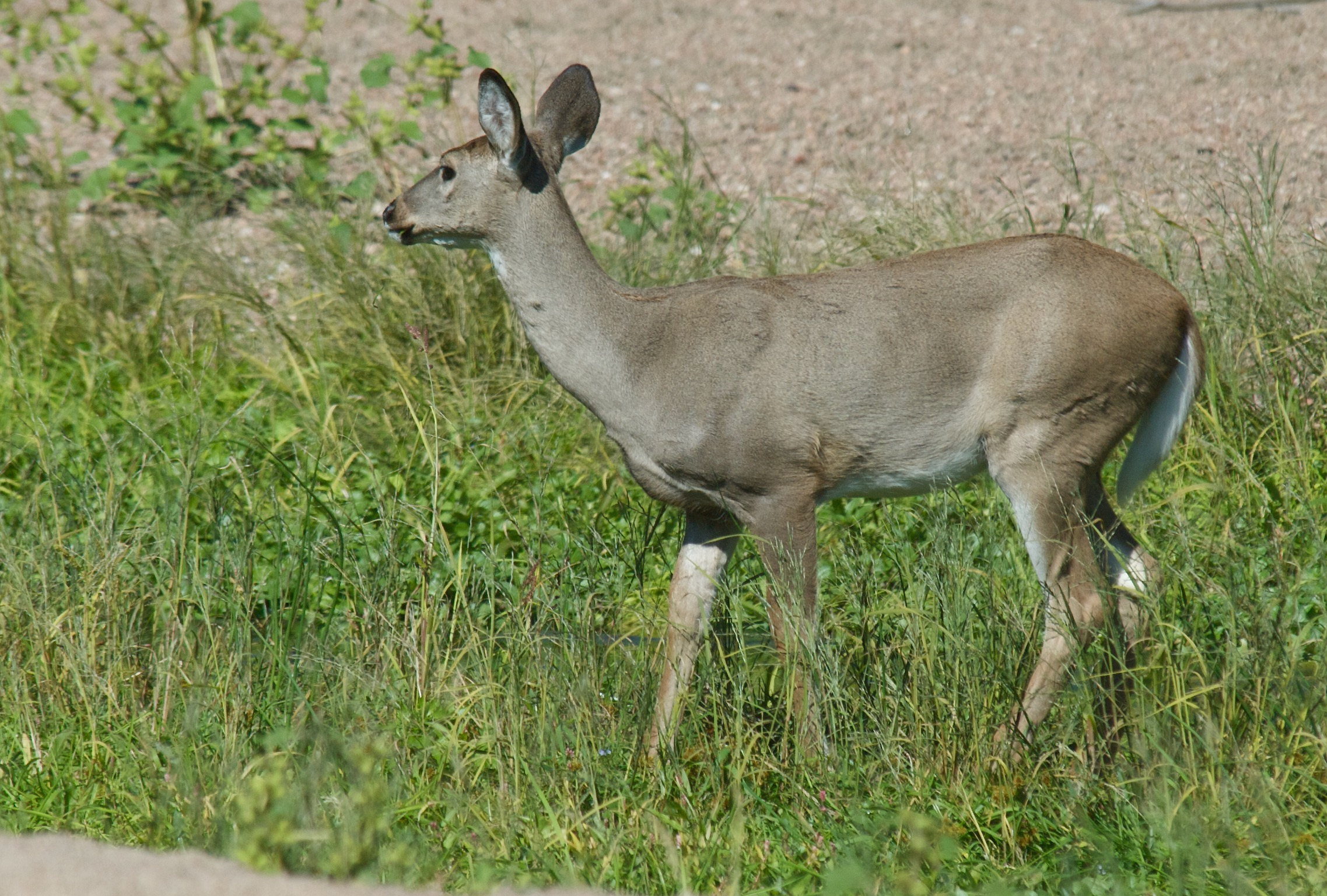 White-Tailed Deer (Winter Blue)