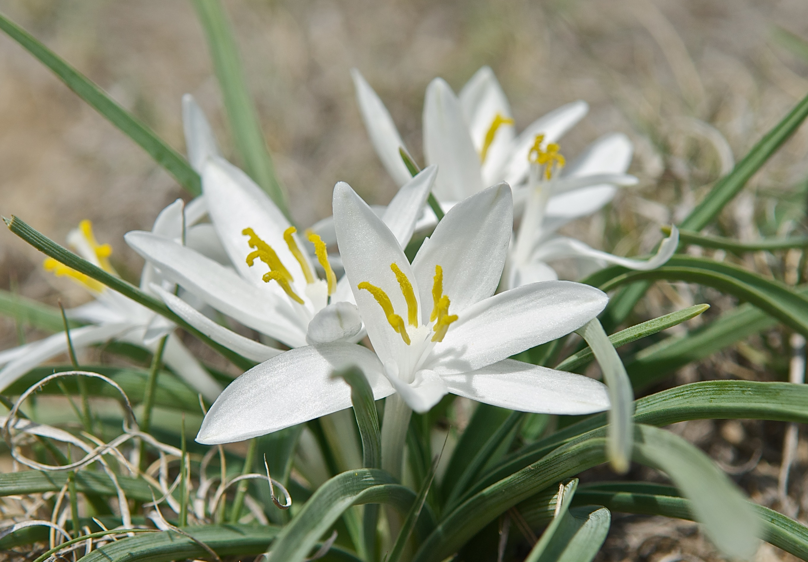 Sand lily (or Star lily) (Leucocrinum montanum)