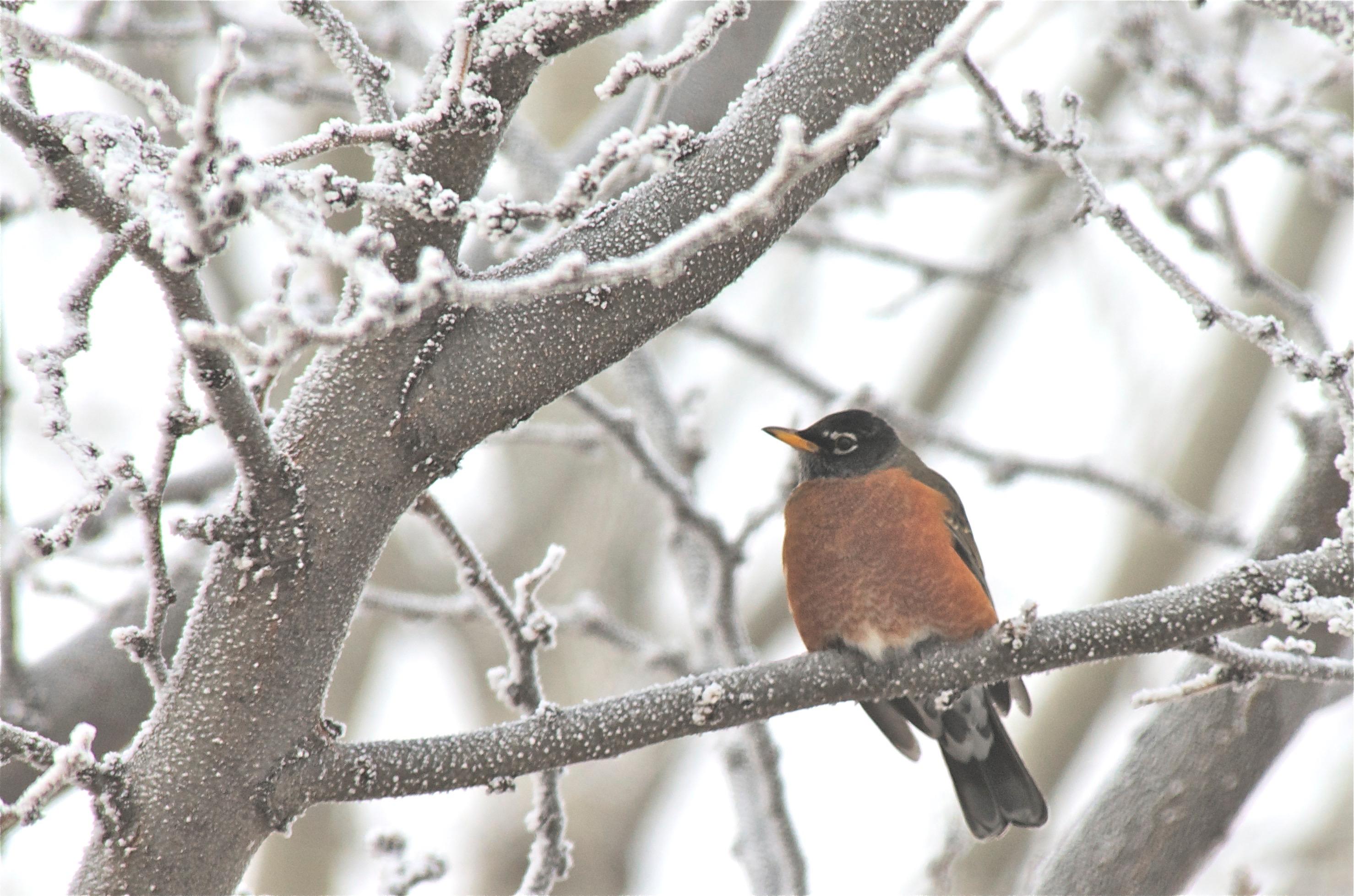 Am. Robin
