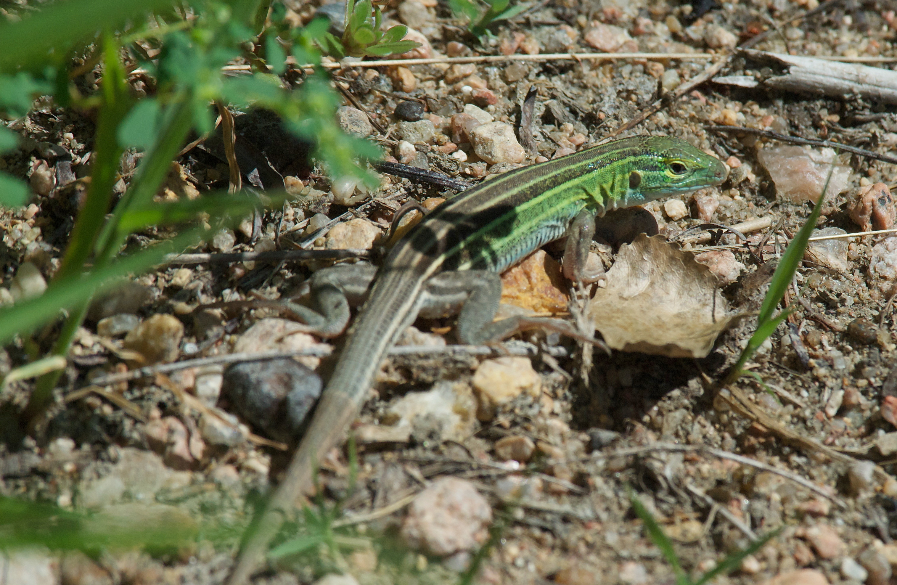 Six-Lined Racerunner Lizard