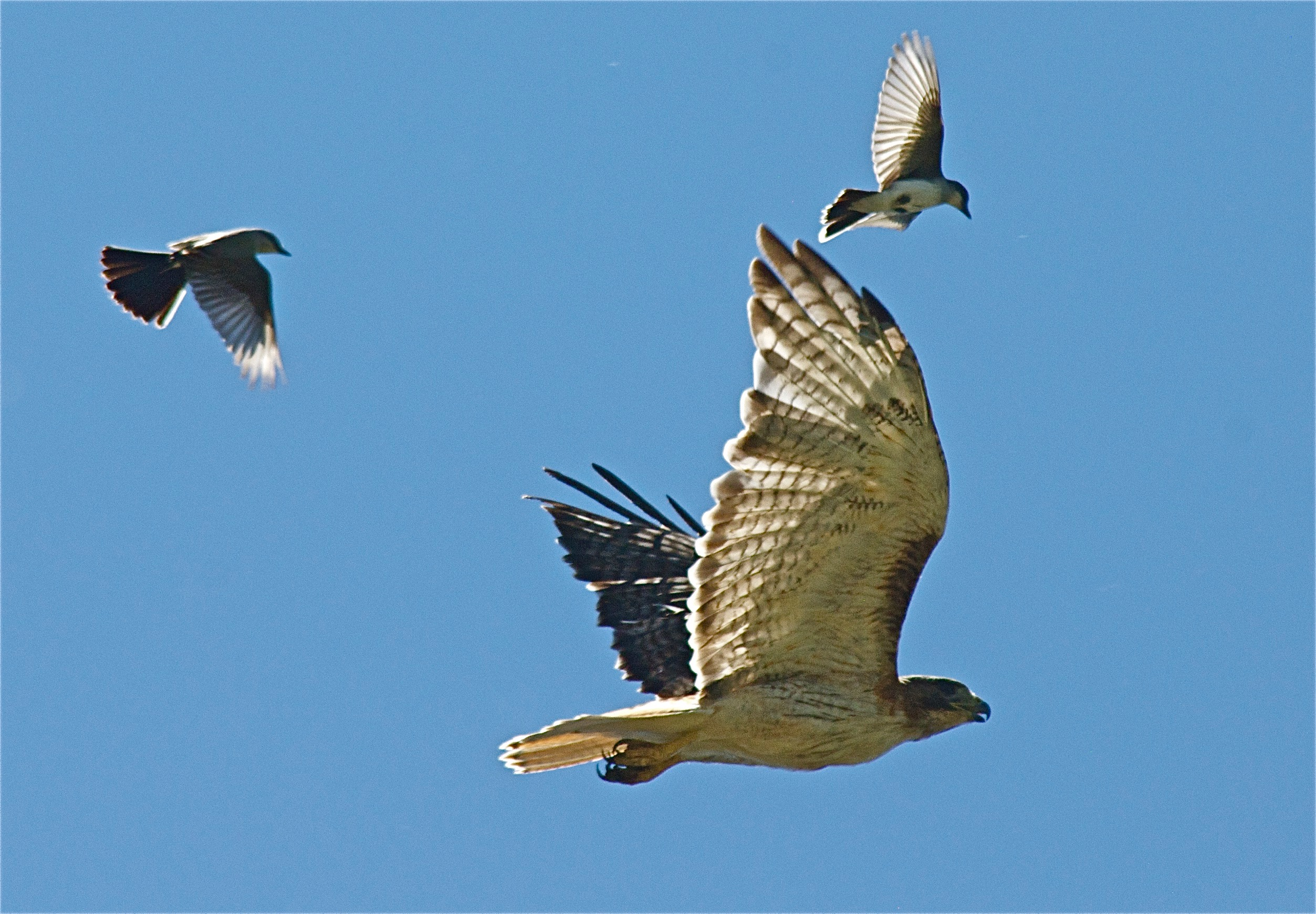 Red-Tailed Hawk pursued by Western Kingbirds