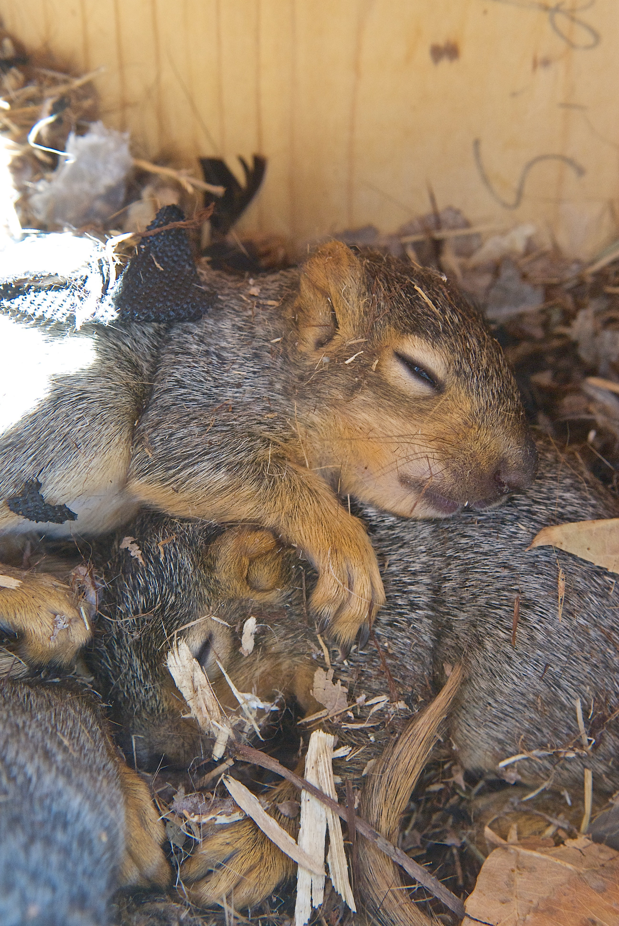 Baby Squirrels in Screech Owl Nesting Box