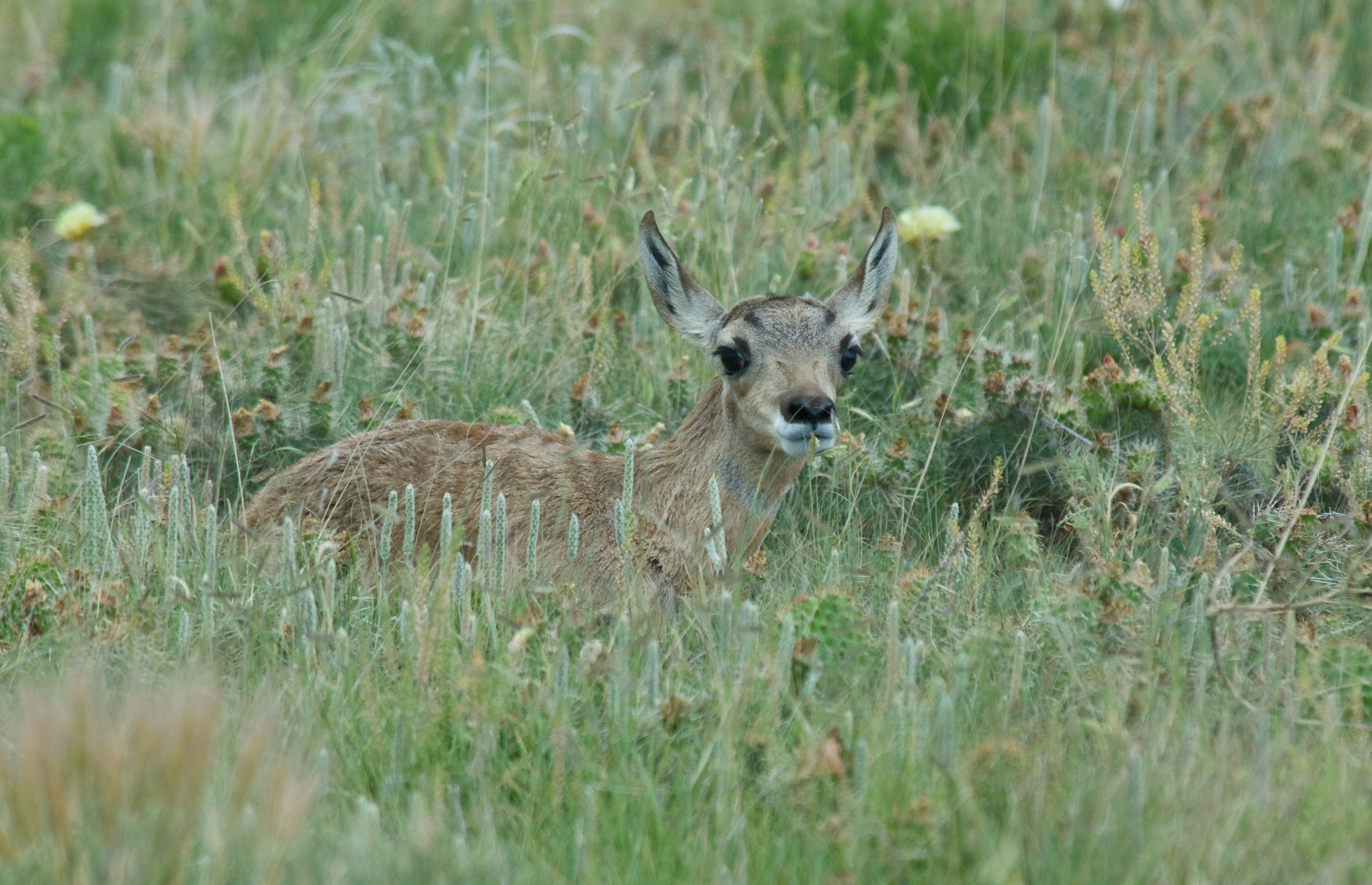 Baby Pronghorns