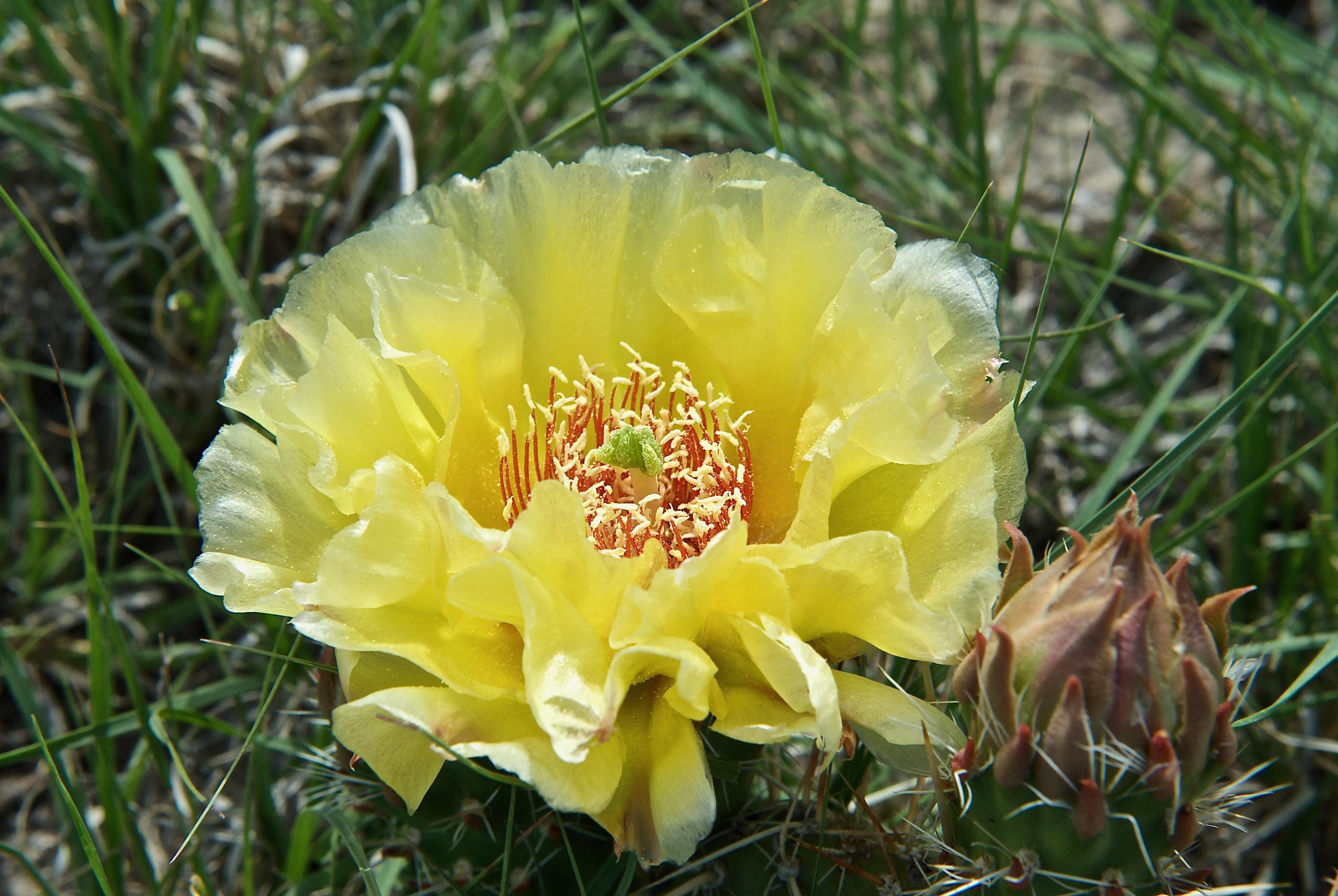 Opuntia macrorhiza (Bigroot Pricklypear Cactus)