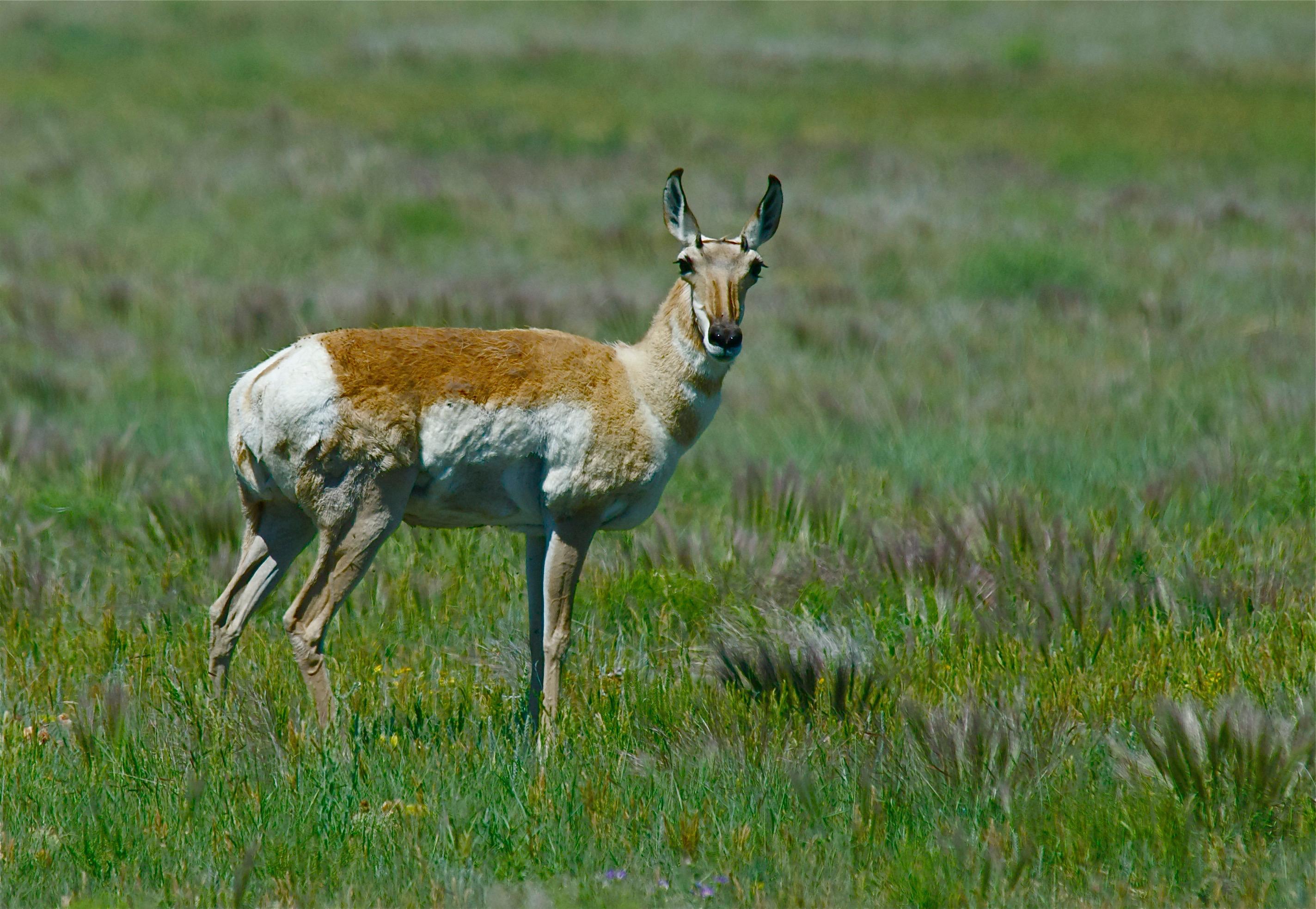 Pronghorn Antelope ♀