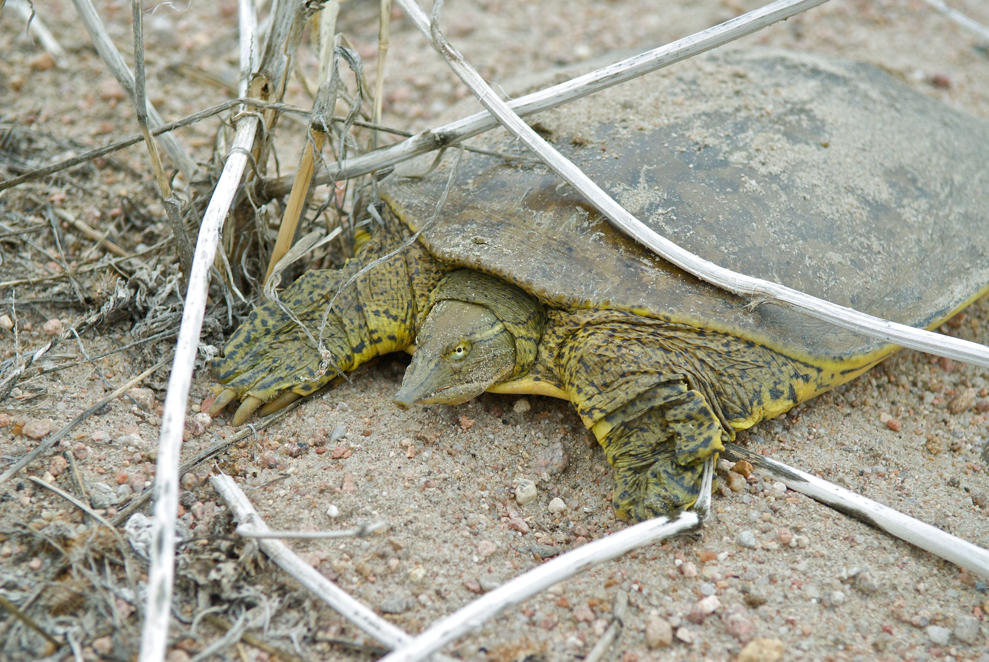 Spiny Soft-Shelled Turtle (laying eggs)
