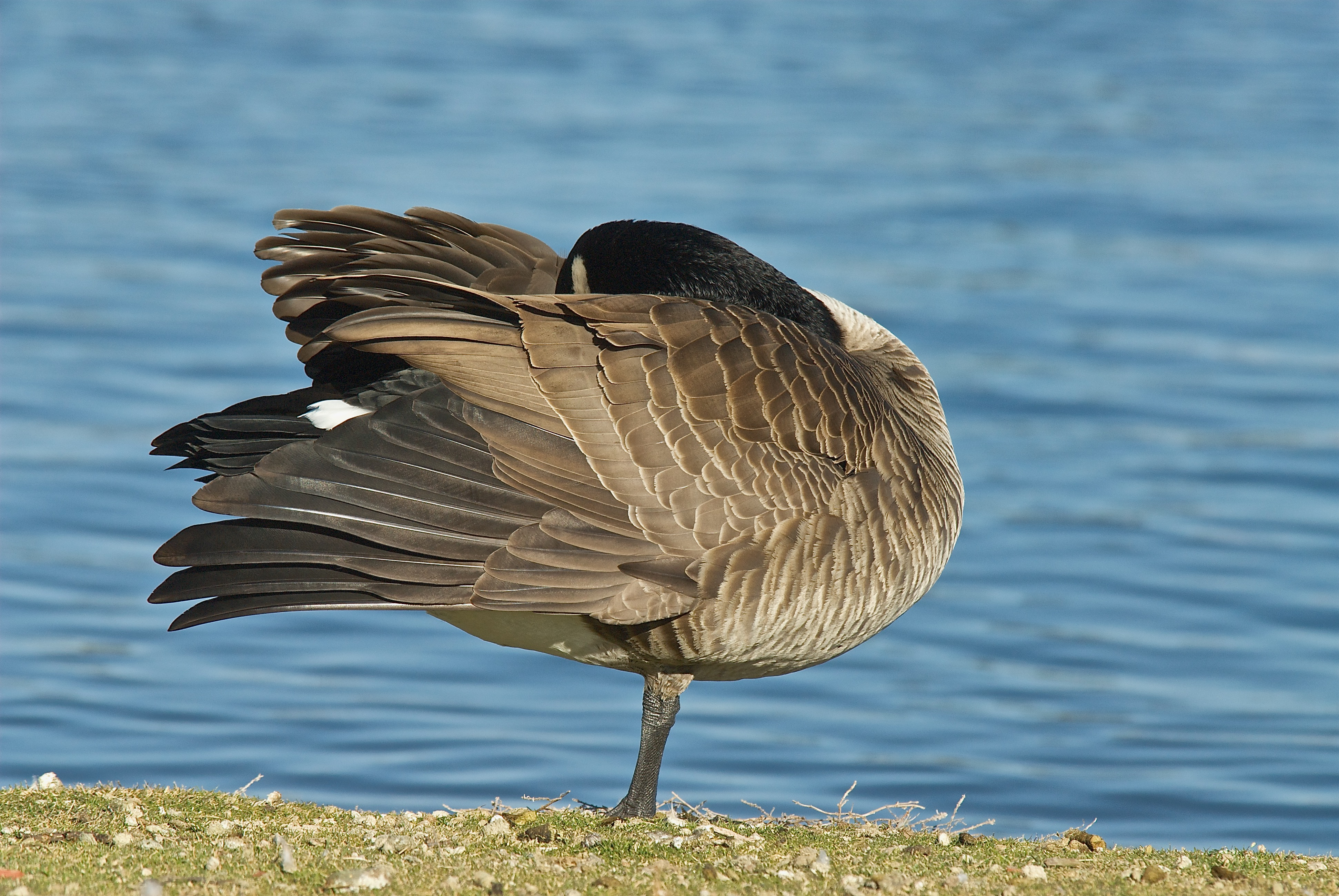 Preening Canada Goose