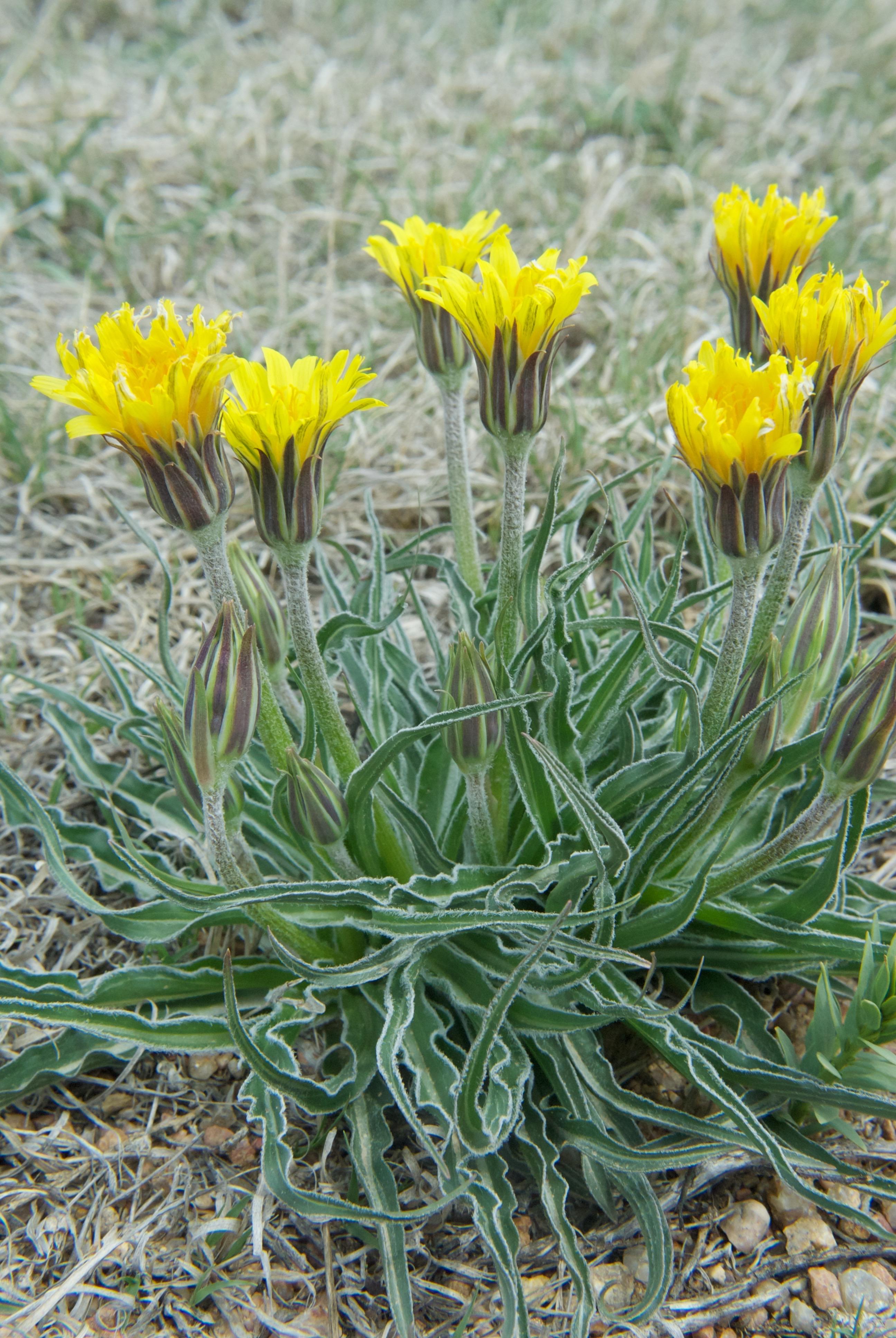 Wavyleaf Dandelion (Nothocalais cuspidata-Asteraceae)