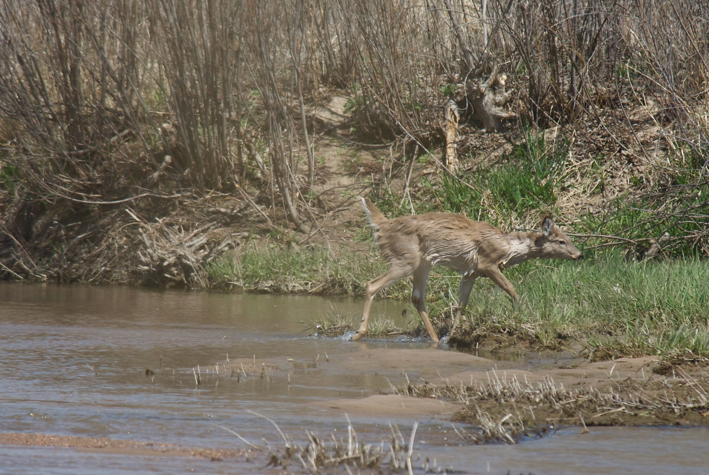 Wet White-Tailed Deer