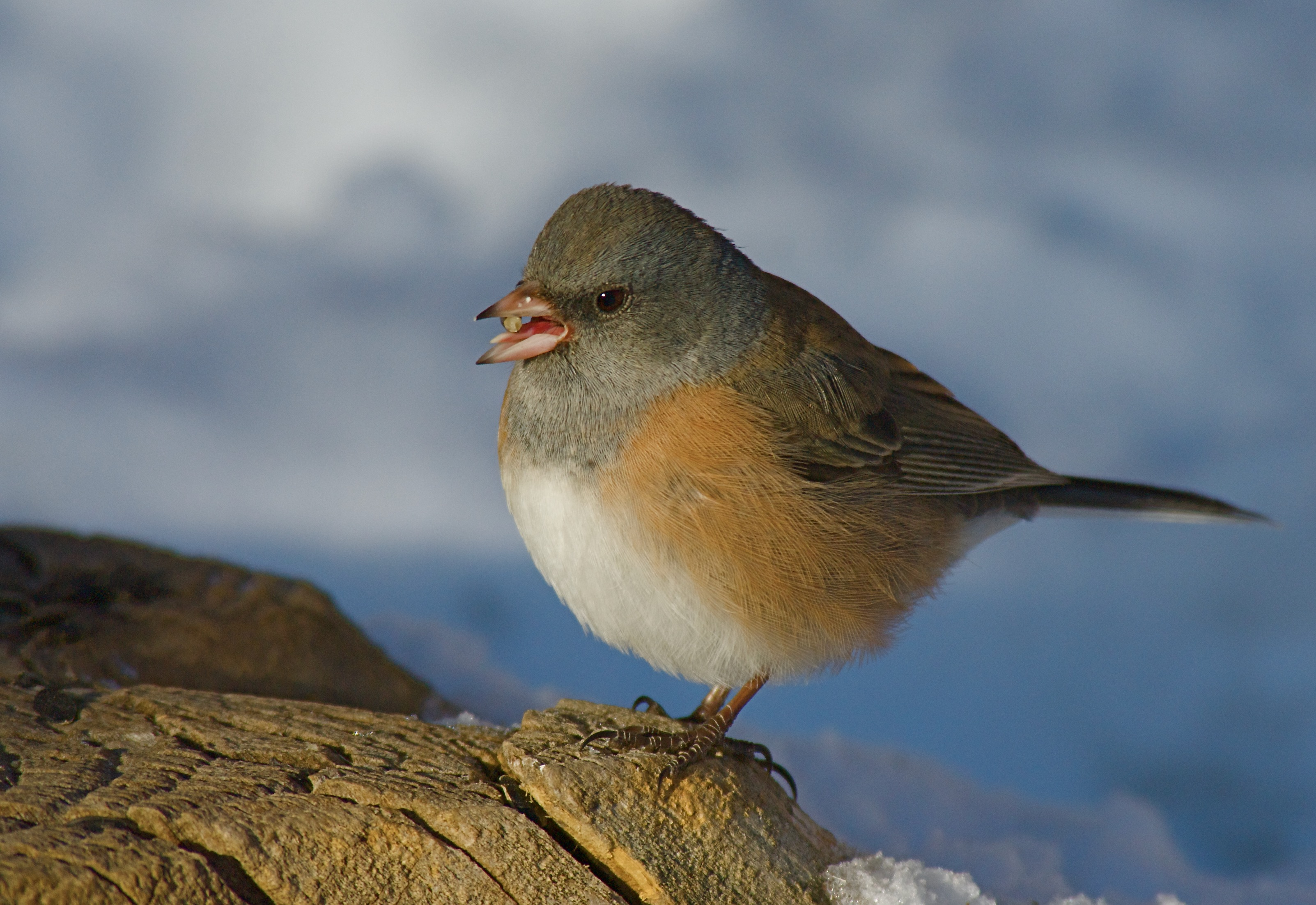 Junco at Reservoir