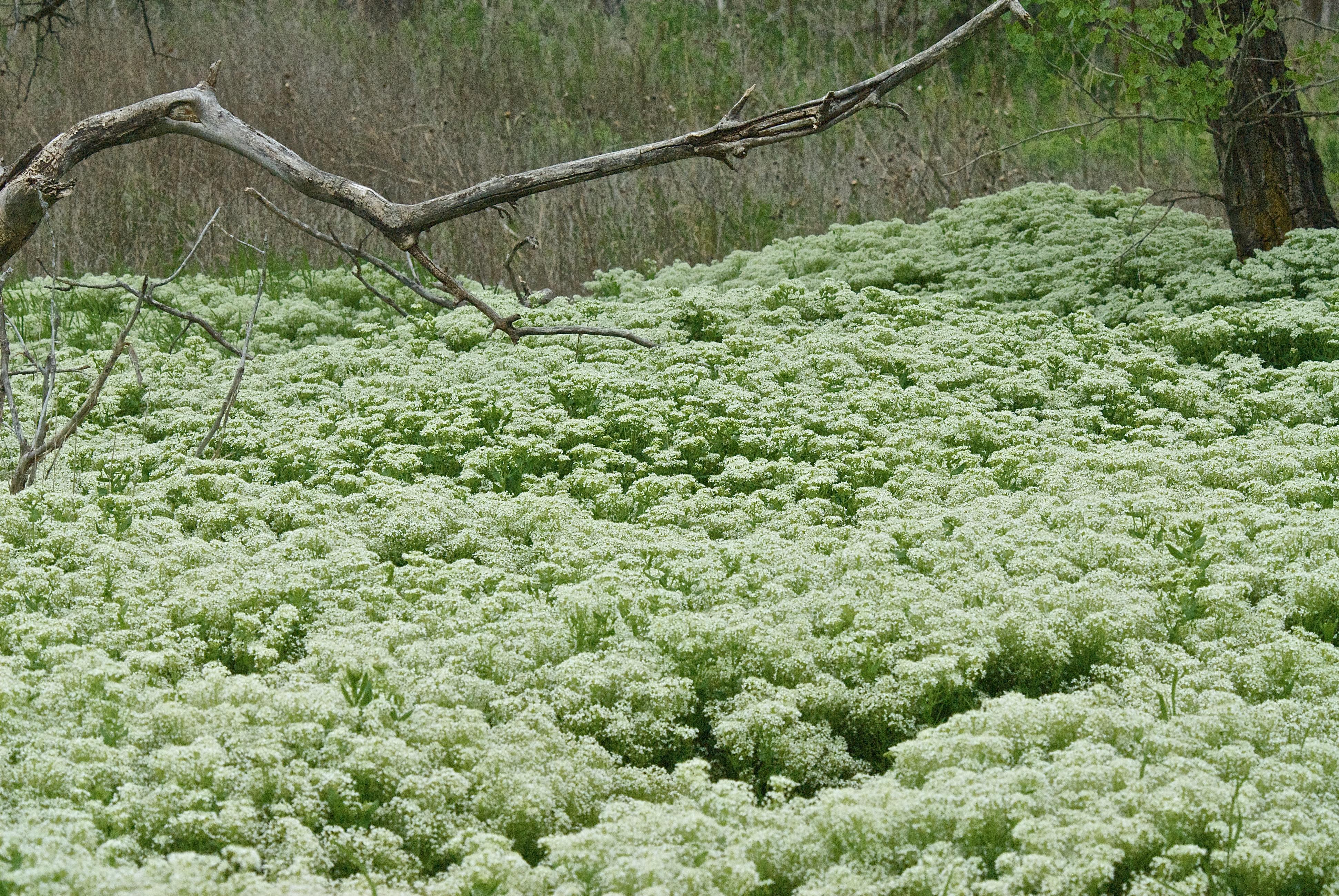 Hoary Cress (Leidium draba ssp. draba)