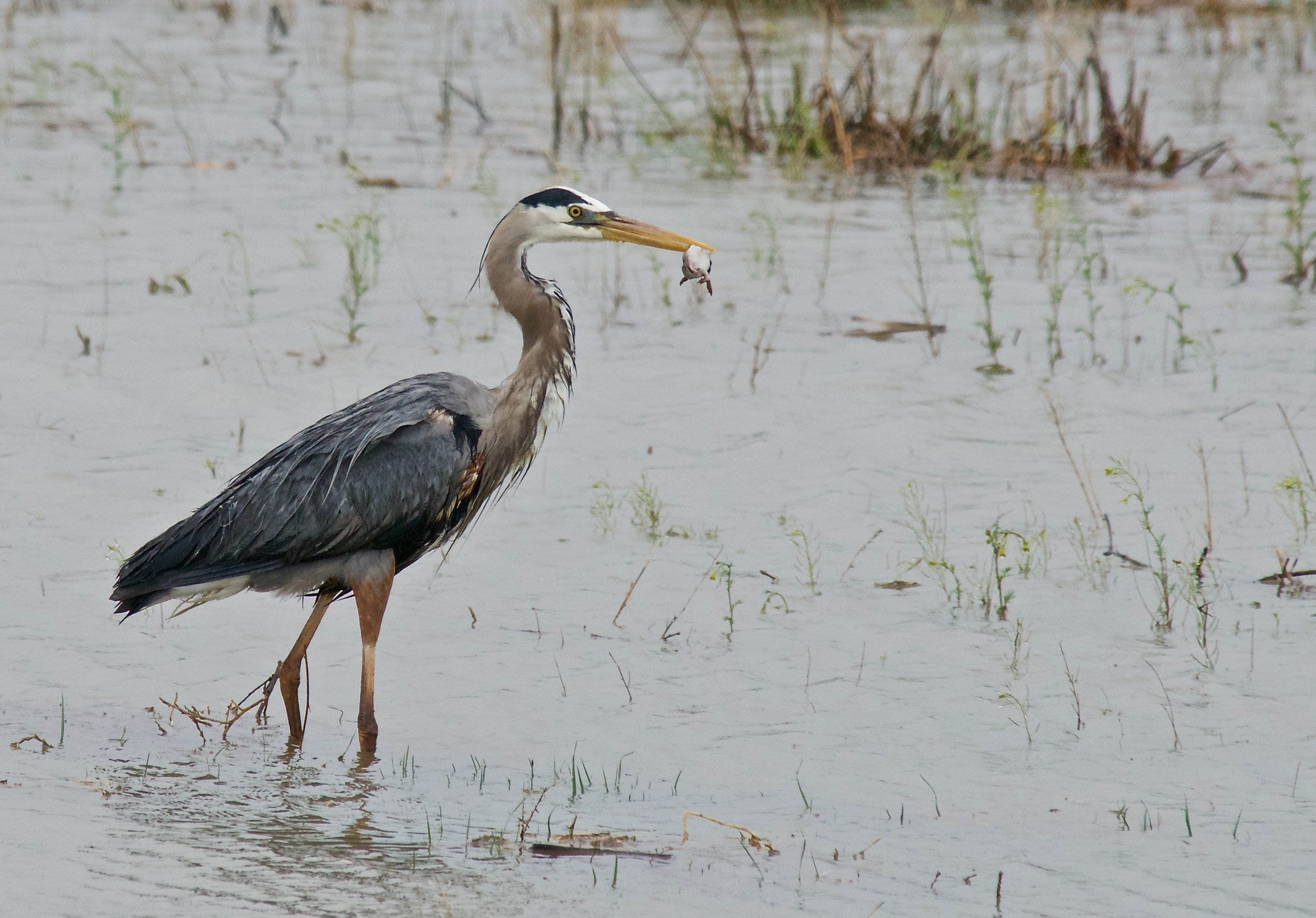 Great Bleu Heron