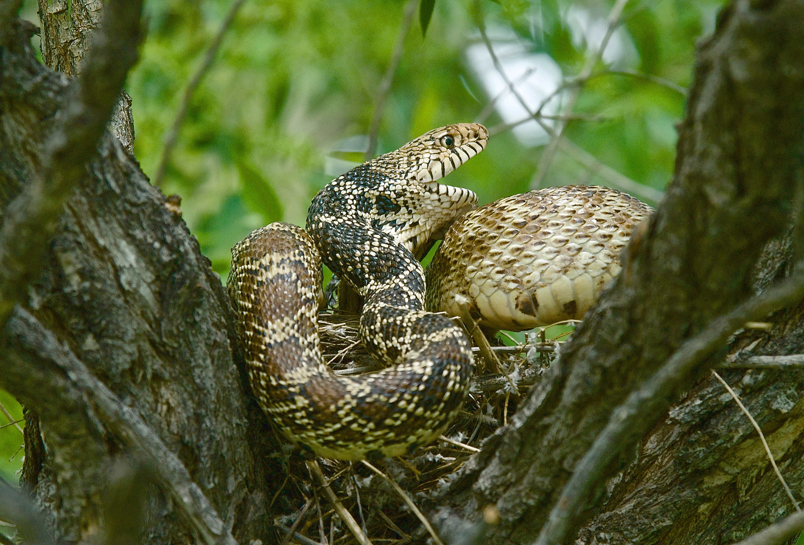 Bull snake (Eating Baby Robins)
