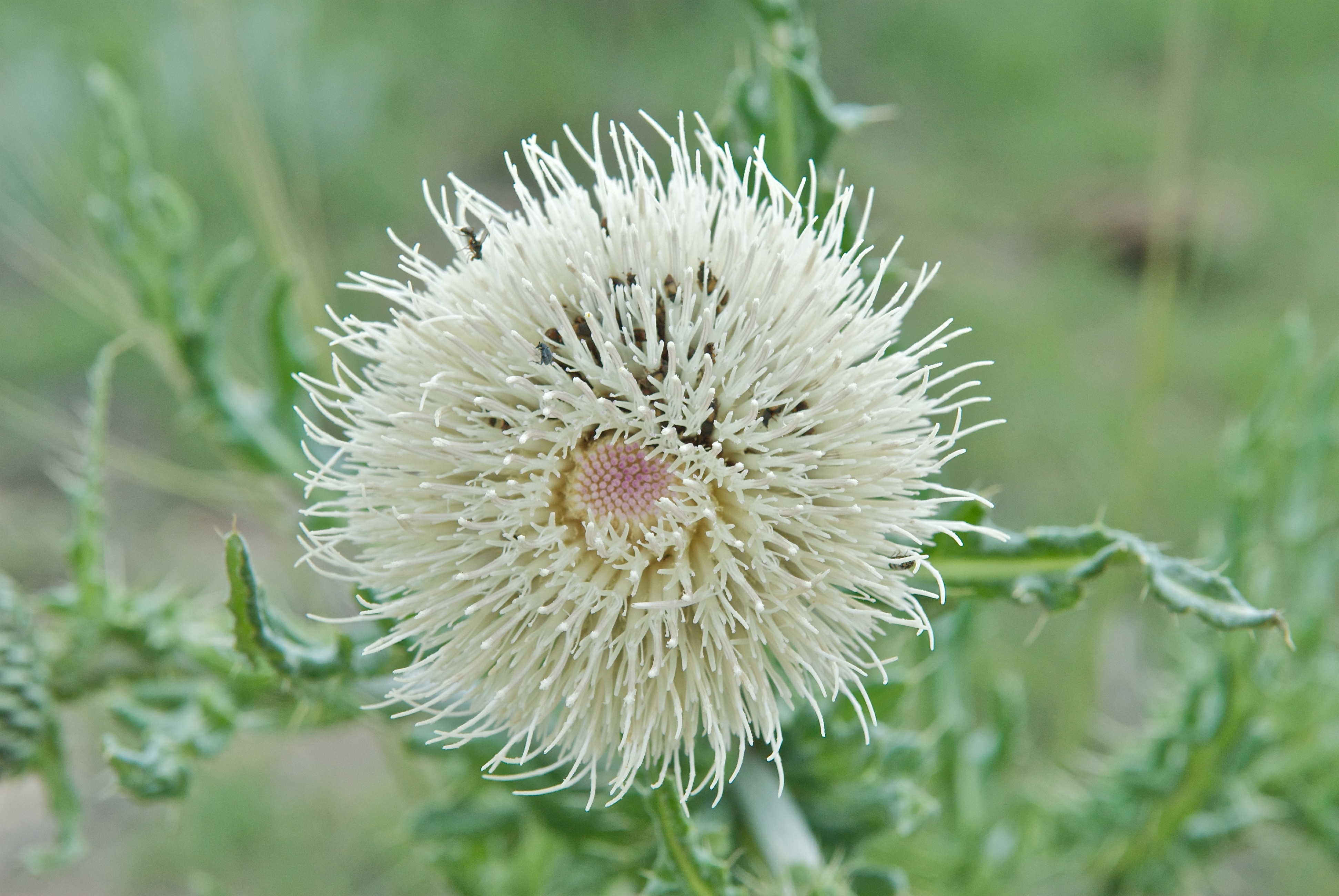 White Thistles Cirsium Plants And Animals Of Northeast