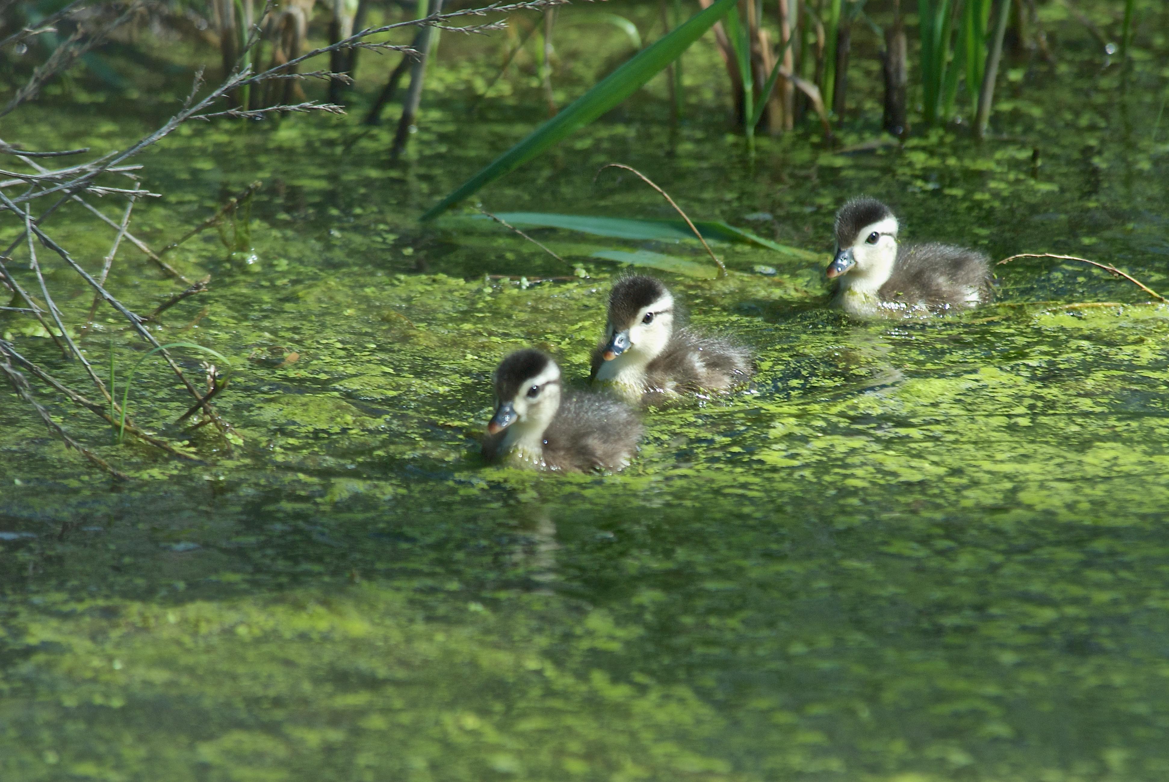 Baby Wood Duckls