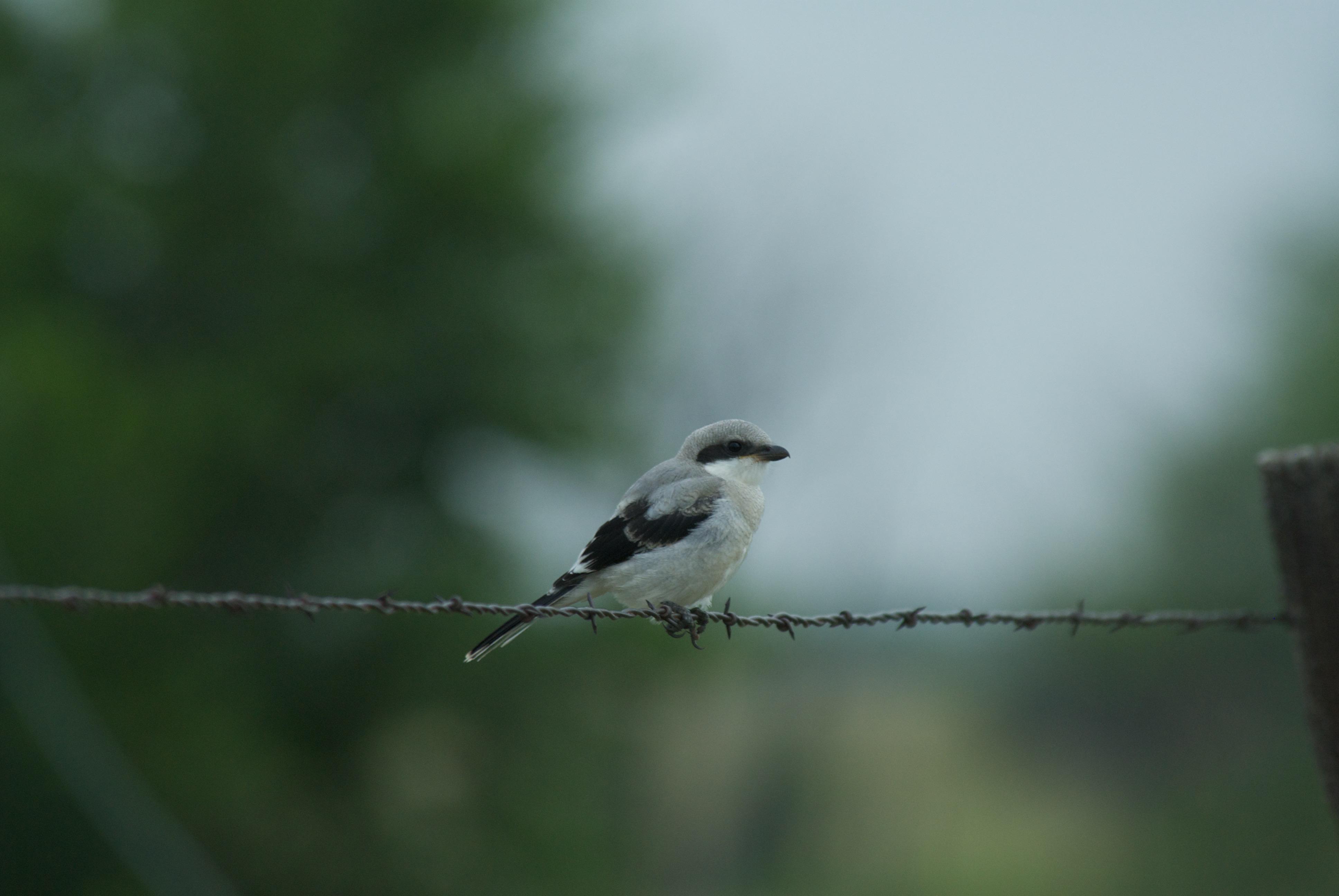 Loggerhead Shrike (young)