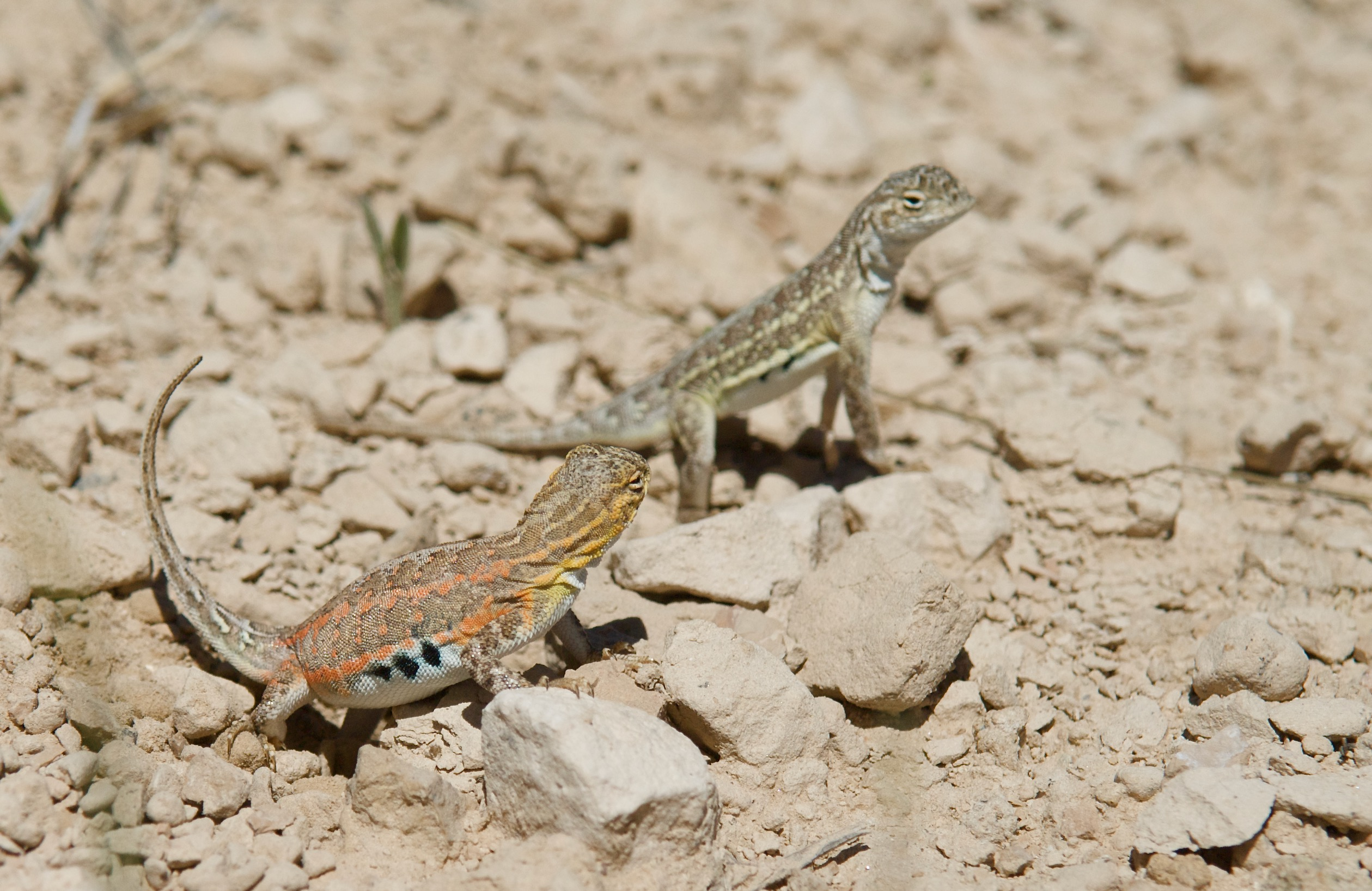 Lesser Earless Lizard Pair (female near)