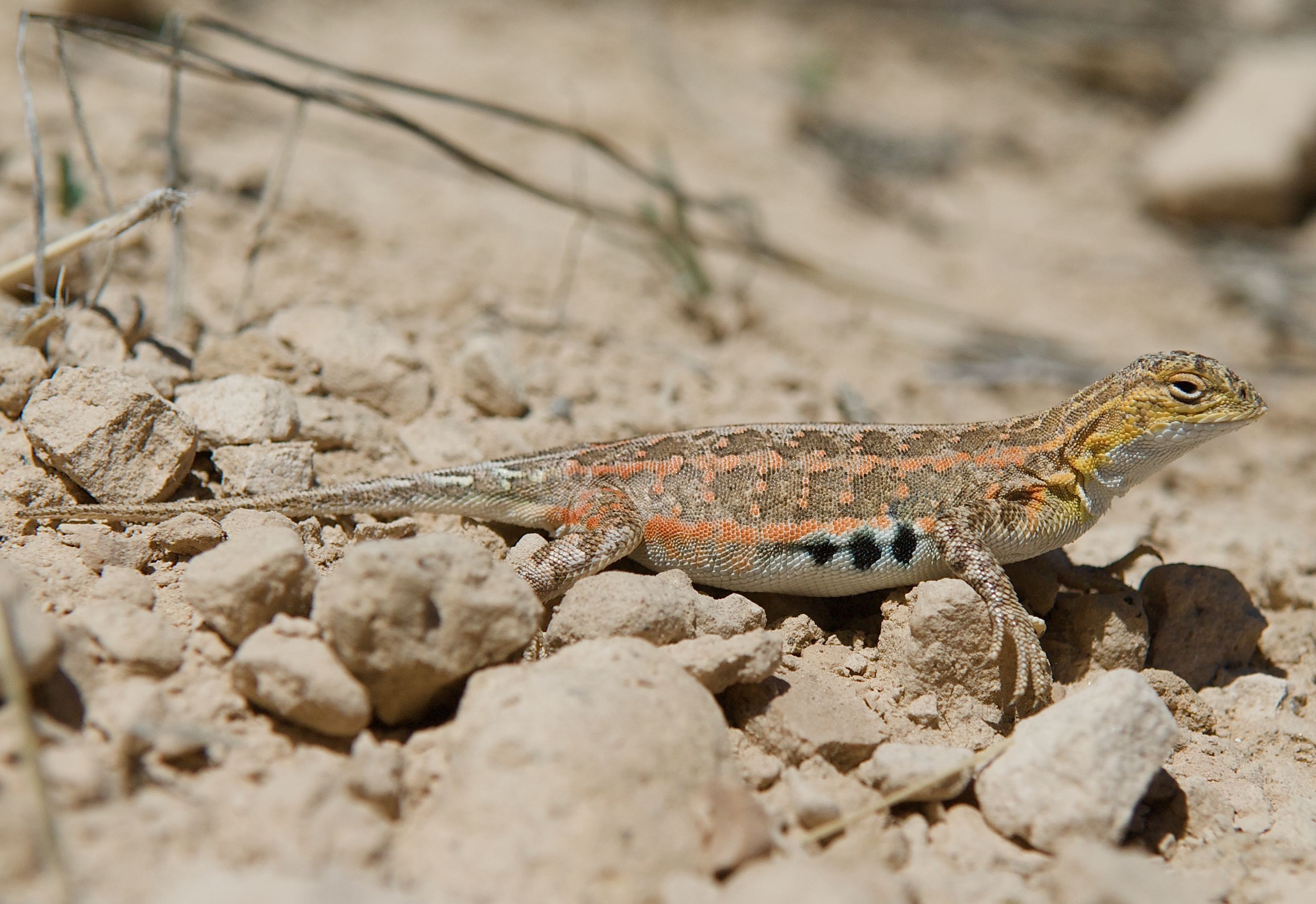 Lesser Earless Lizard ♀
