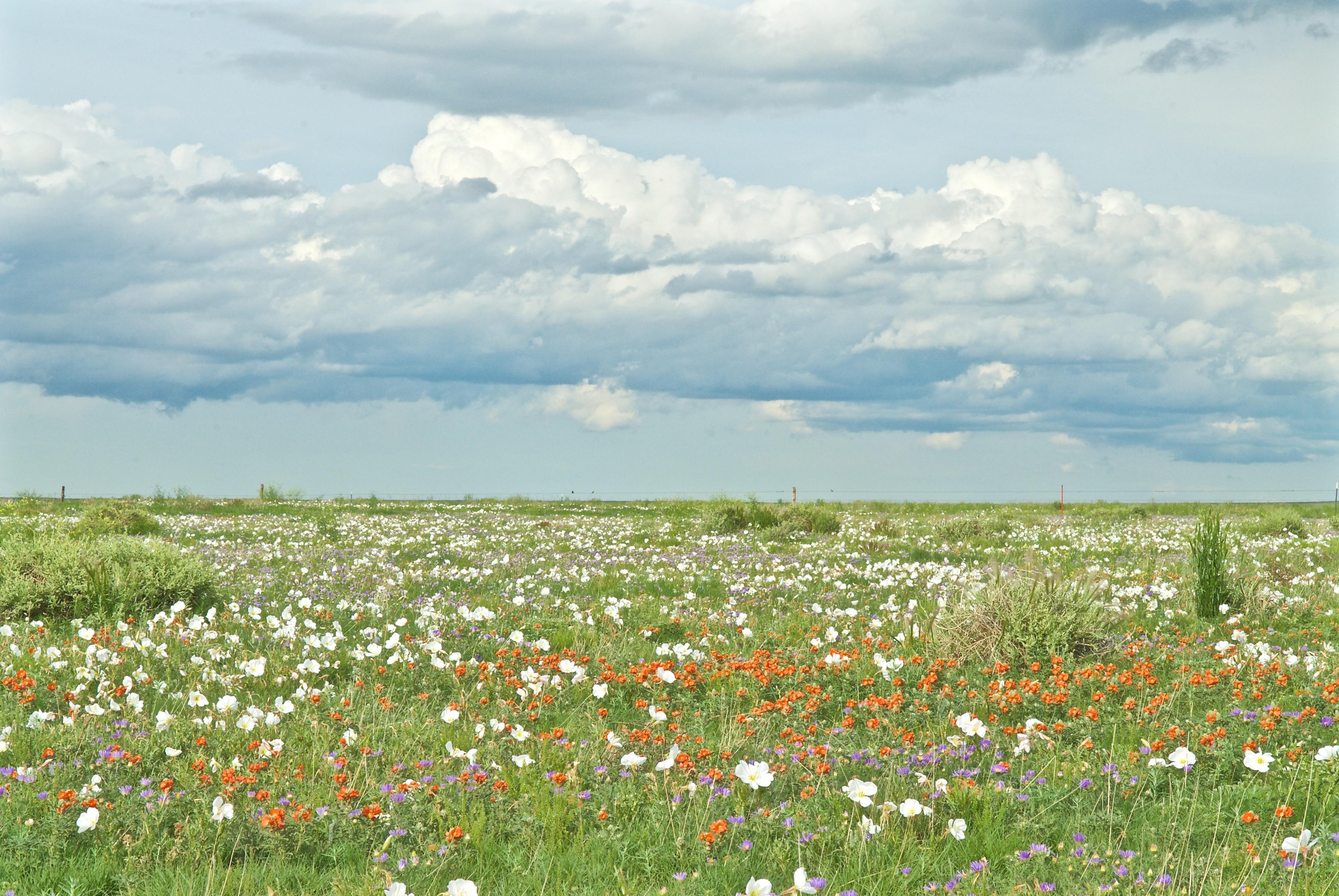 Pawnee Grasslands (Tansyaster, Primrose, Scarlet Mallow)