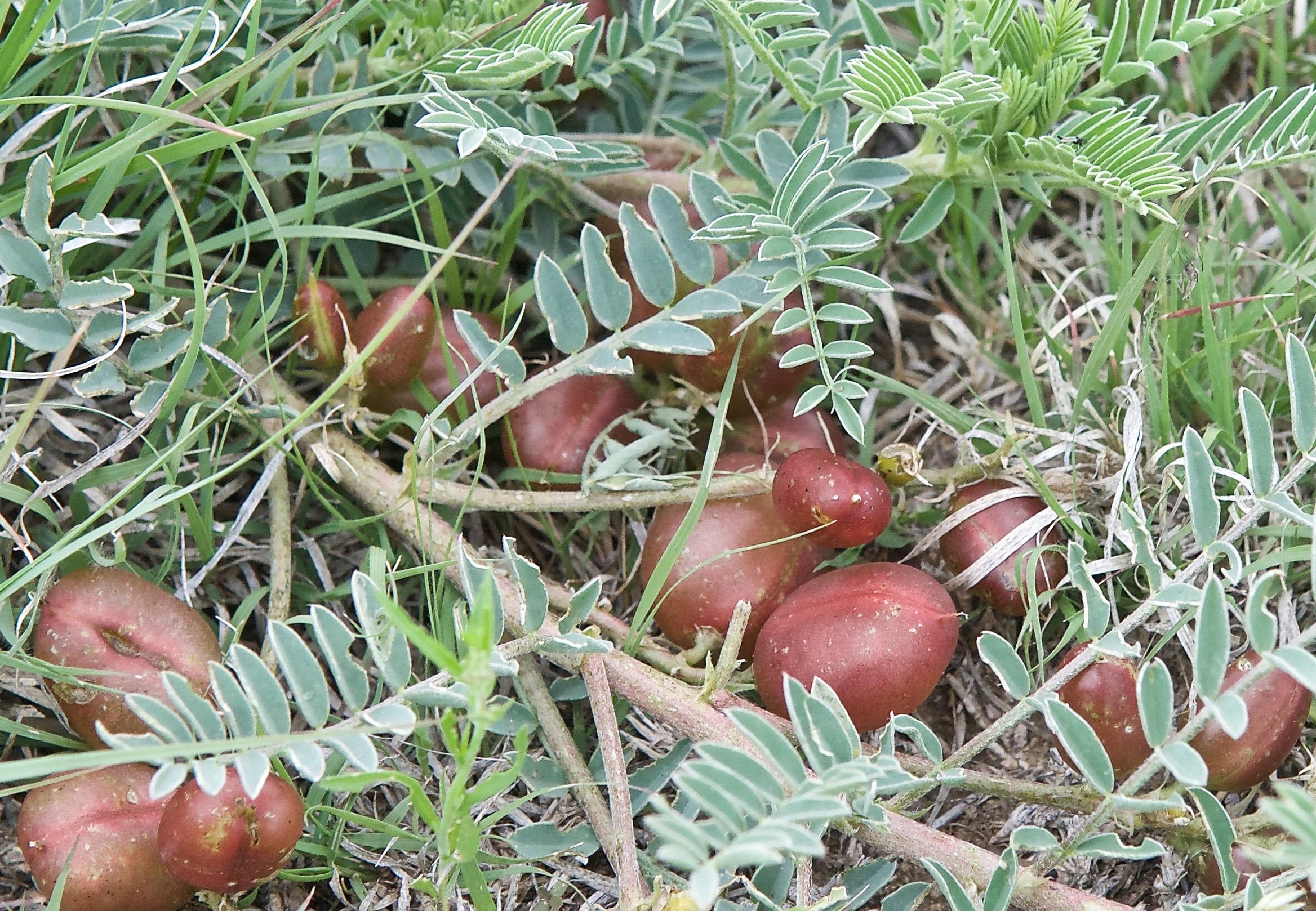 Ground Plum (F. Astragalus crassicarpus)