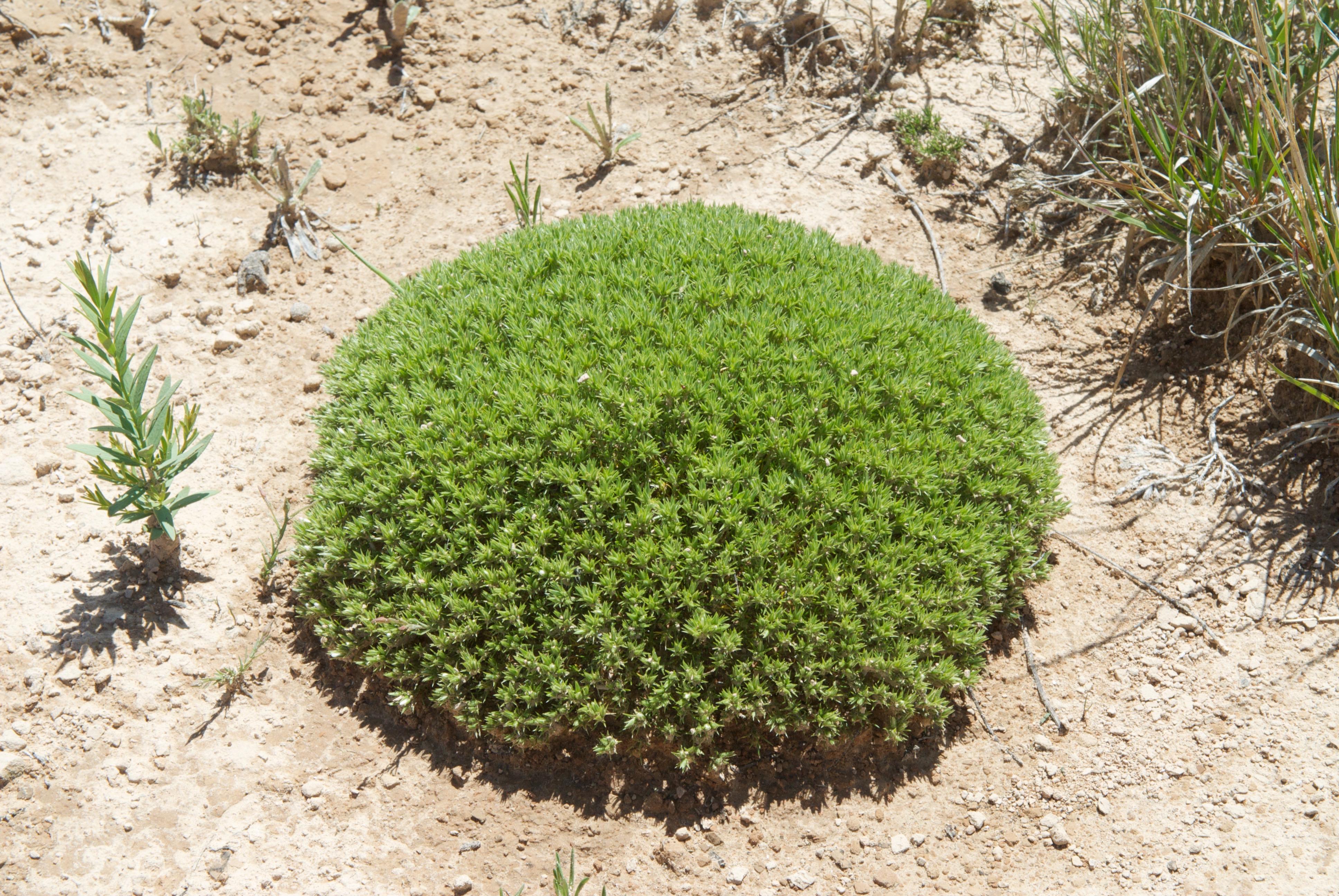 Hooker's Sandwort (Eremogone hookeri)