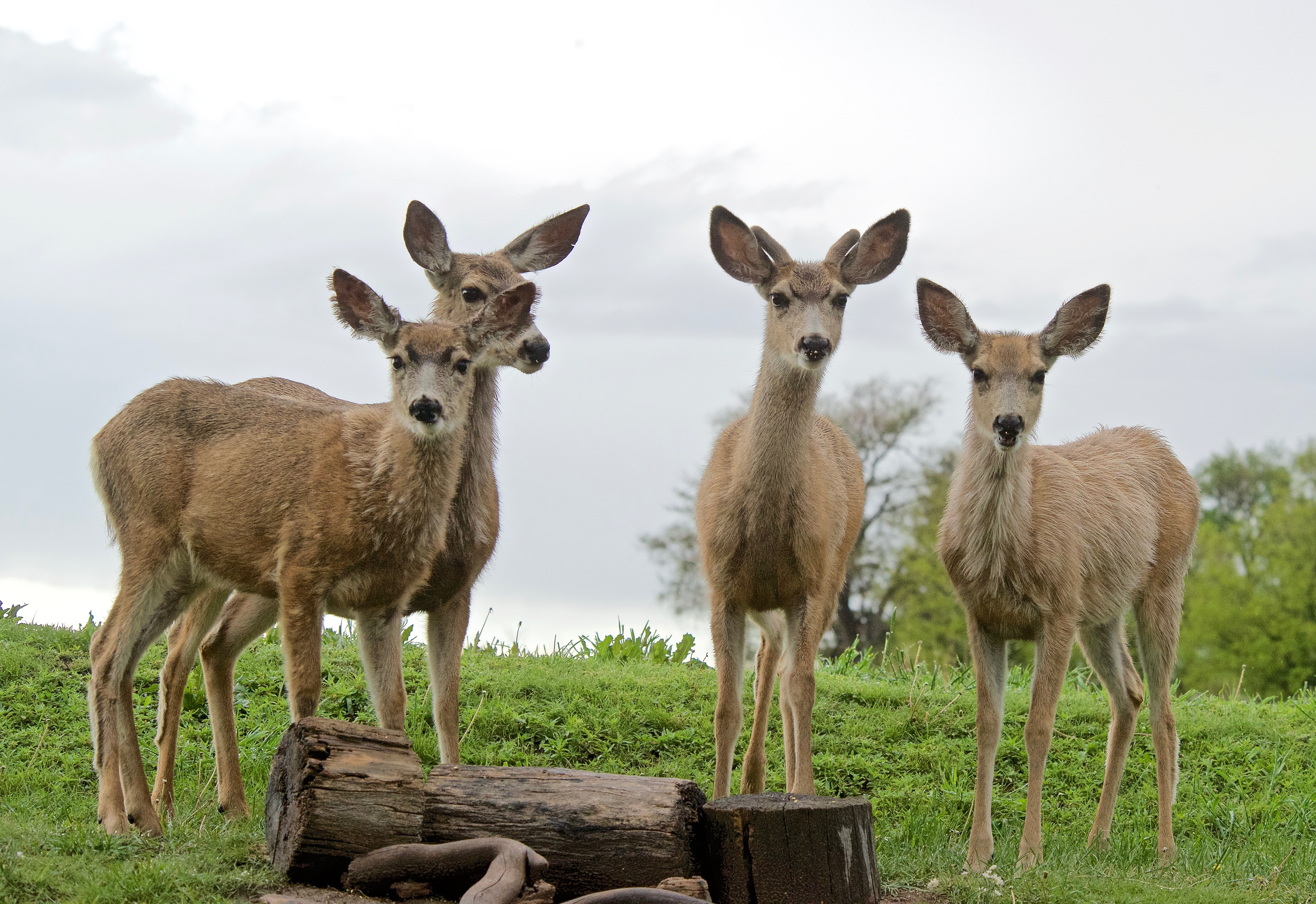 Mule Deer Doe and Triplets turning to Summer Red