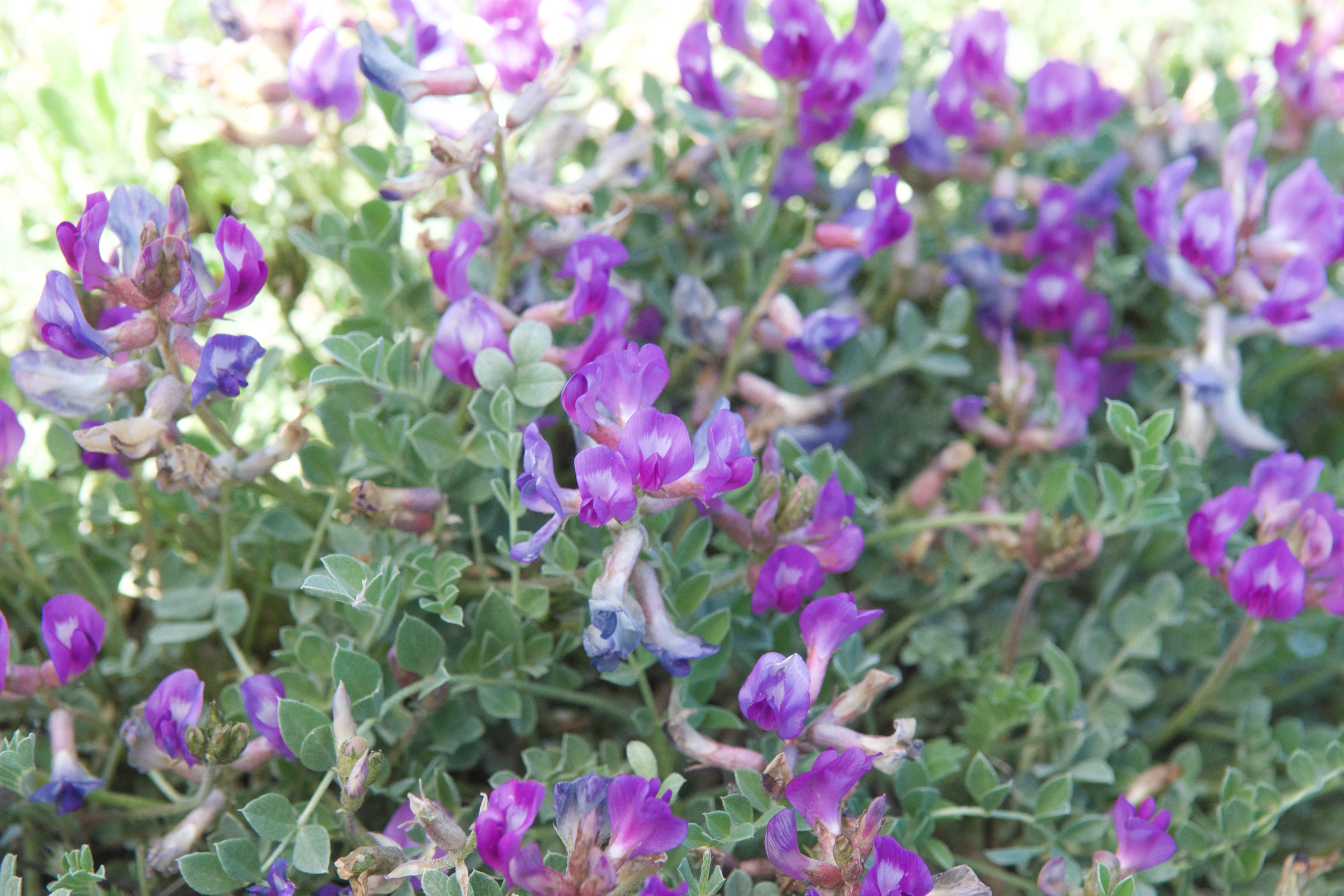 Missouri Milkvetch  (Astragalus missouriensis)