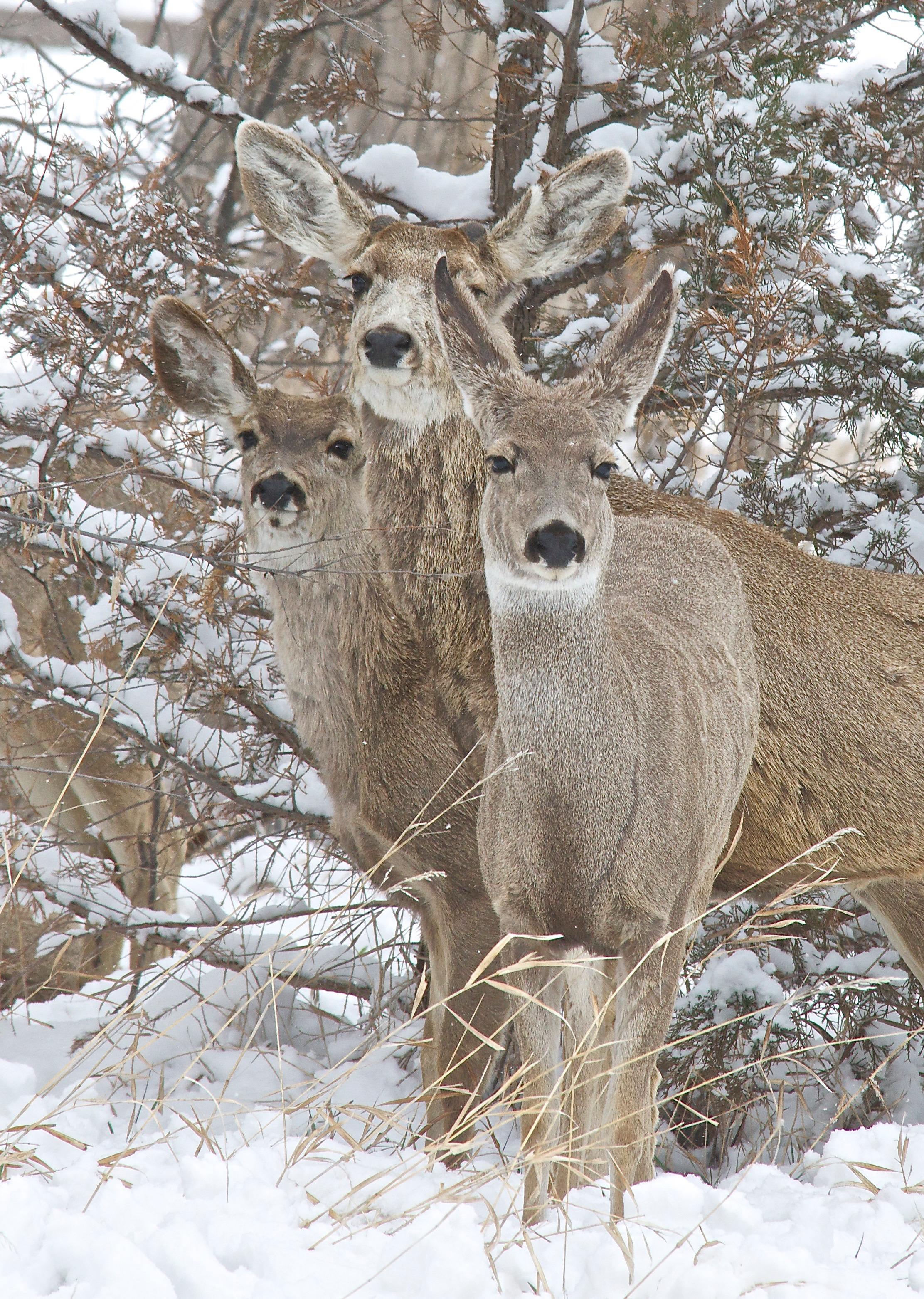 Mule Deer (Split Ear, antler buds) (4-16-13)