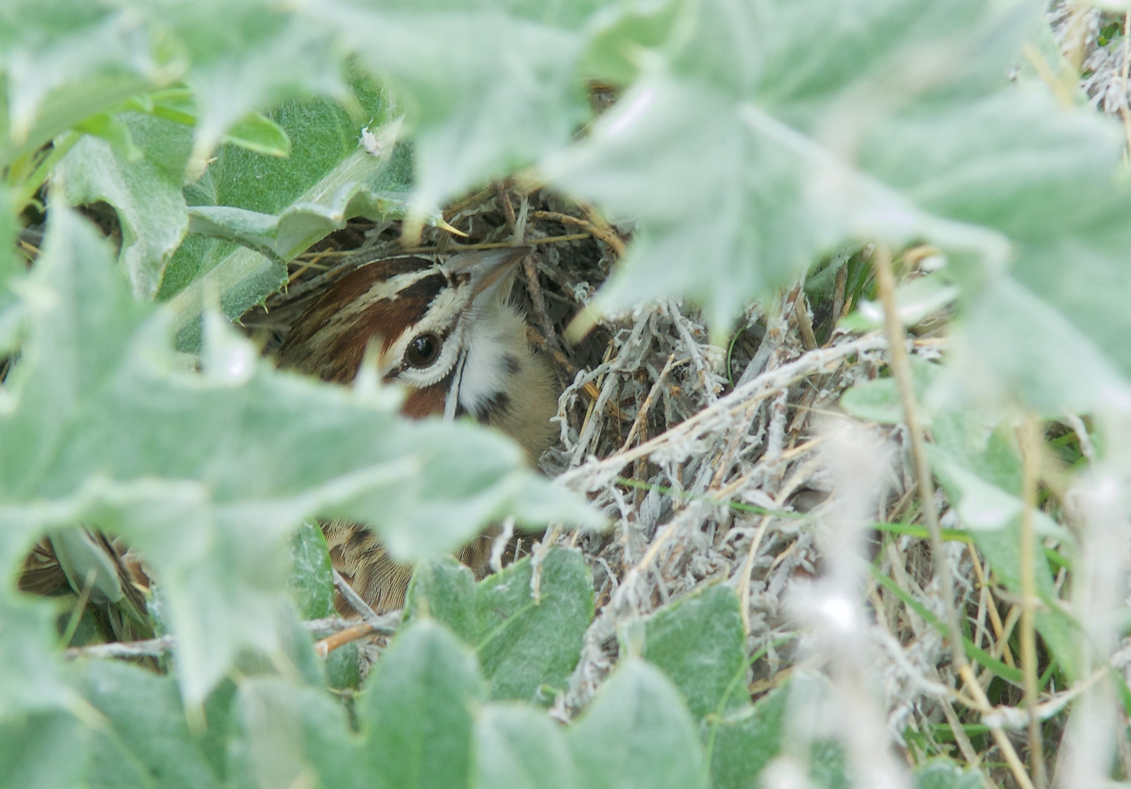 Lark Sparrow on Nest in Wavy-leafed Thistle