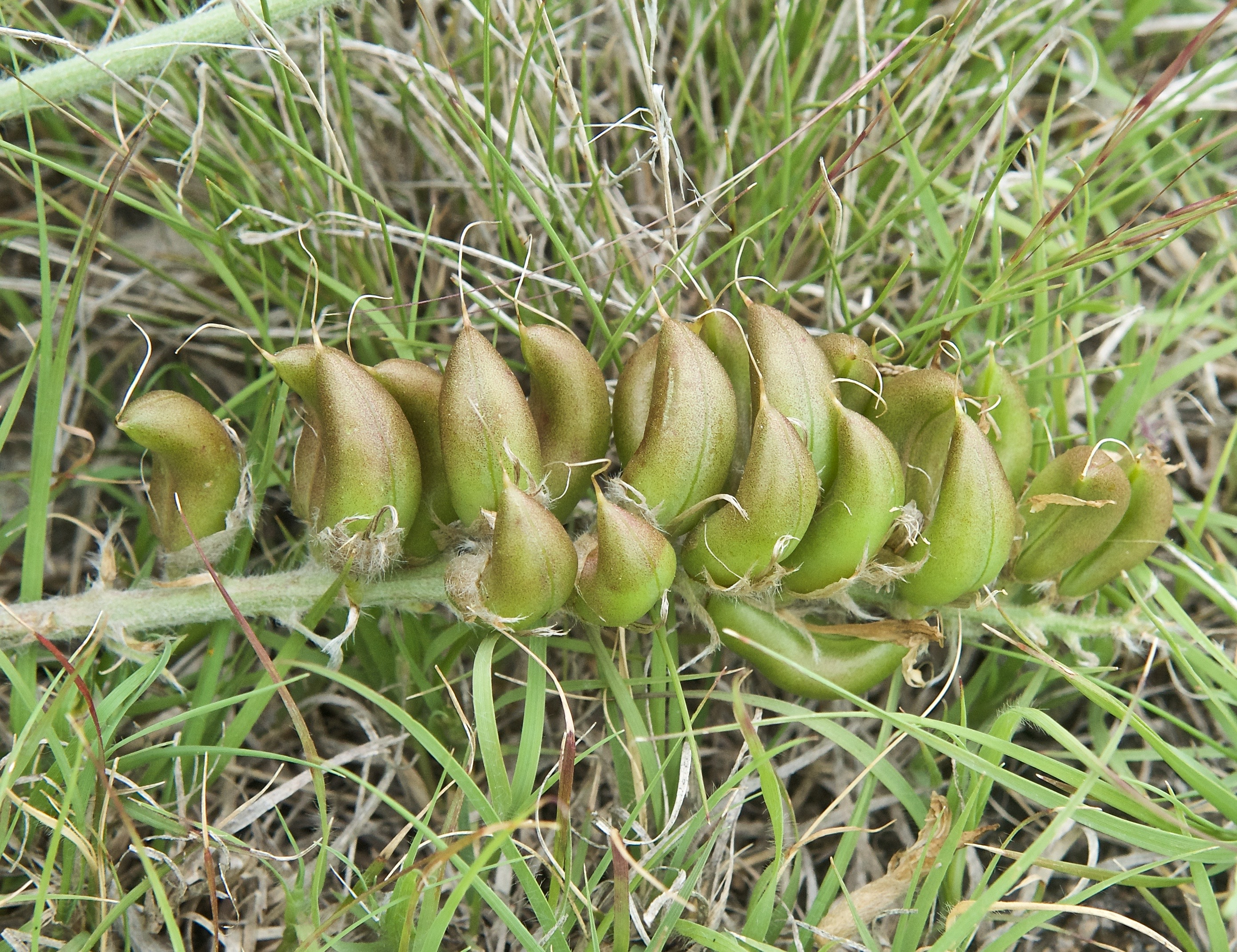 Short's Milkvetch (Astragalus shortianus)