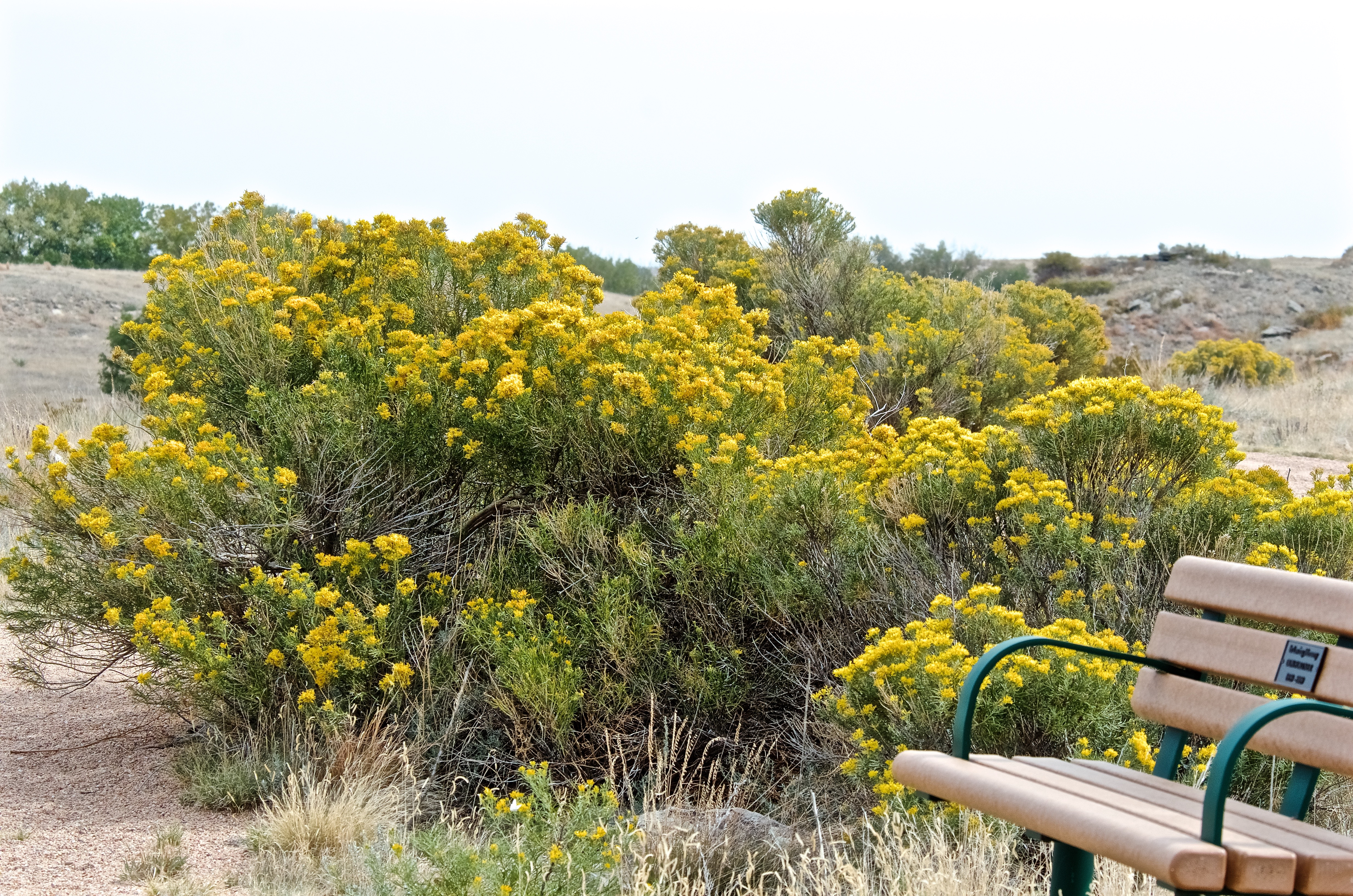 Rubber Rabbitbrush (Ericameria nauseosa) at North Sterling SP