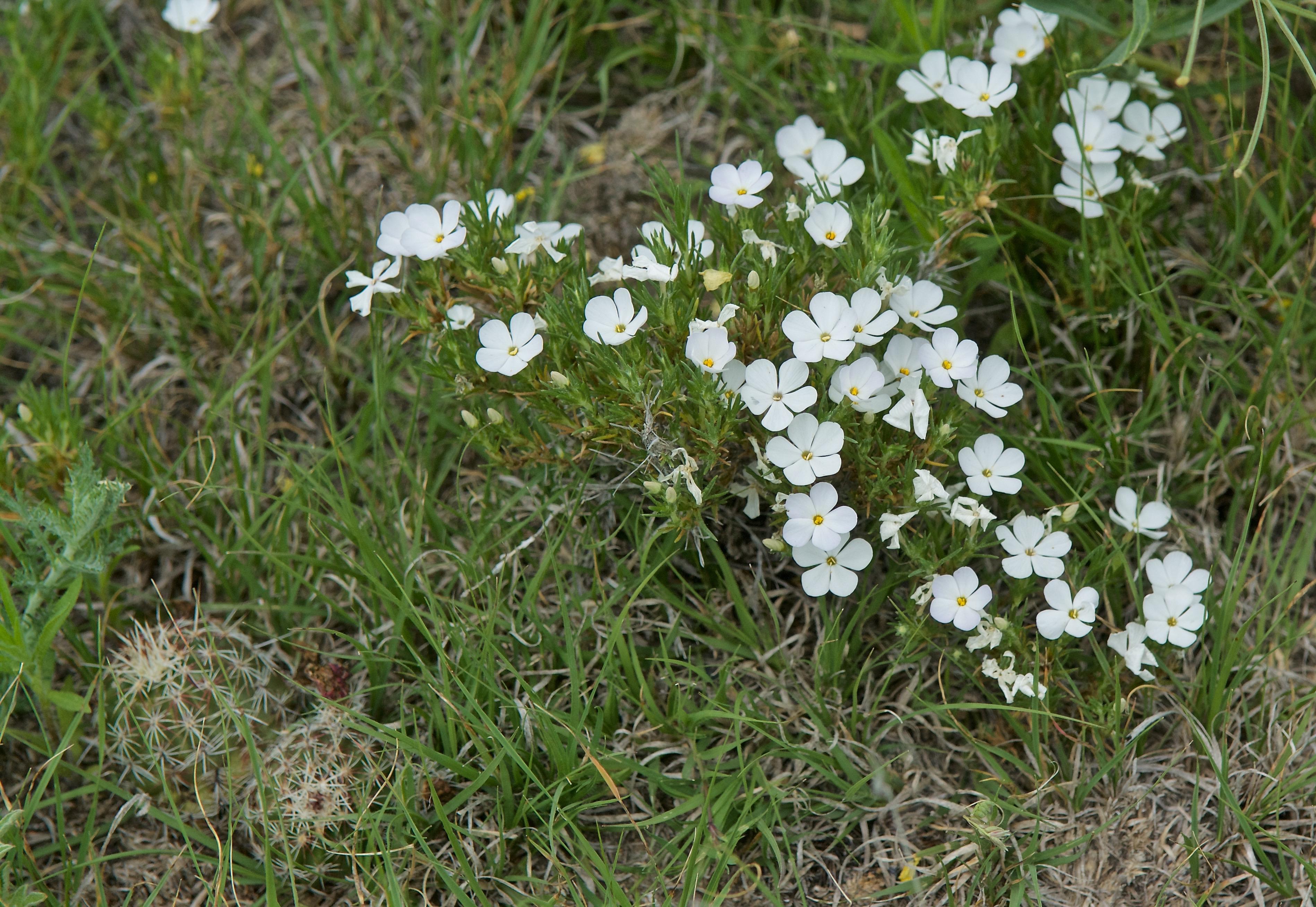 Prairie Phlox  (Phlox andicola)