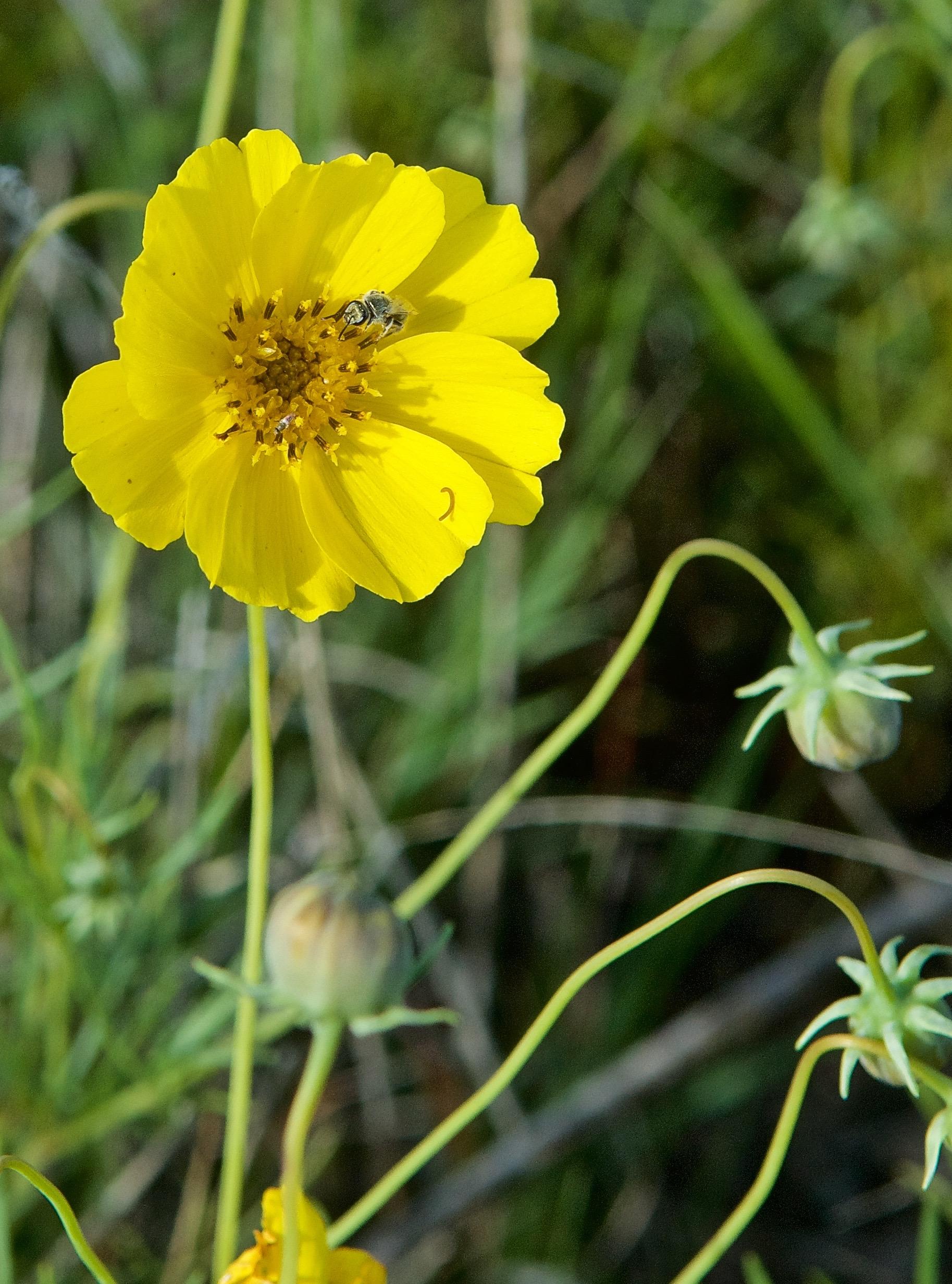 Lance Leafed Coreopsis (Coreopsis lanceolata)