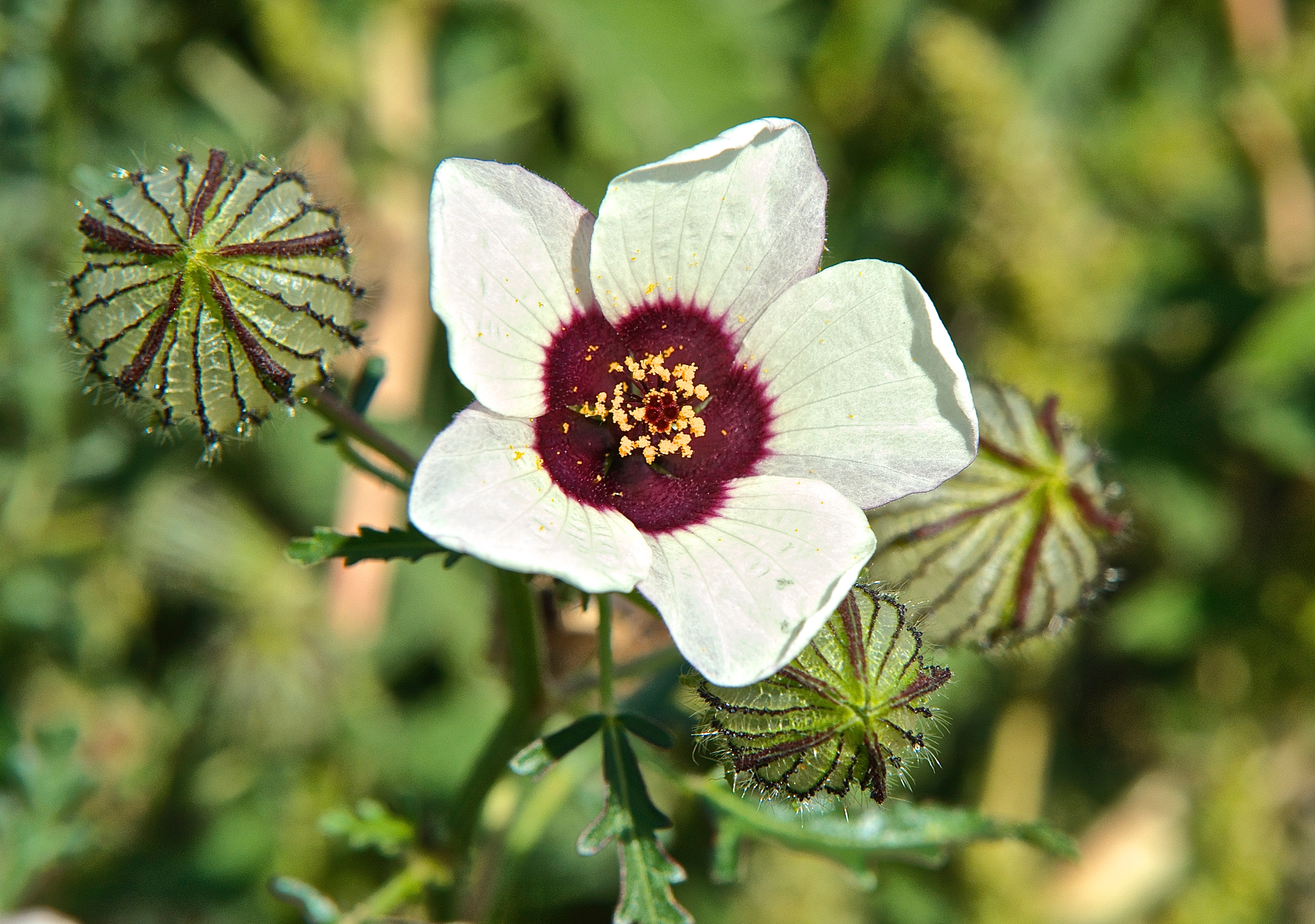 Venice Mallow (Hibiscus trionum) (Flower-Of-An-Hour) (noxious)