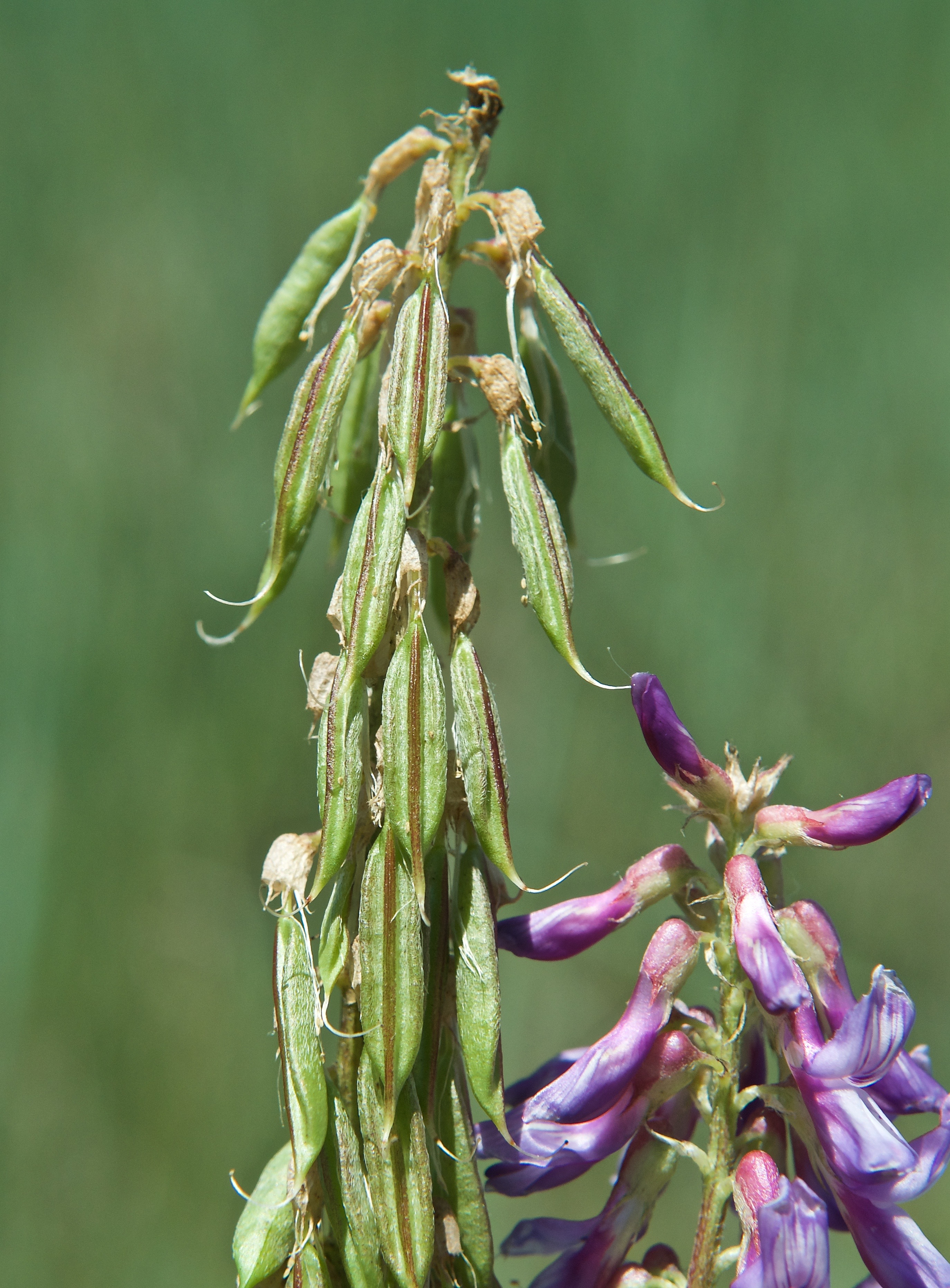 Two-Grooved Milkvetch Seedpods