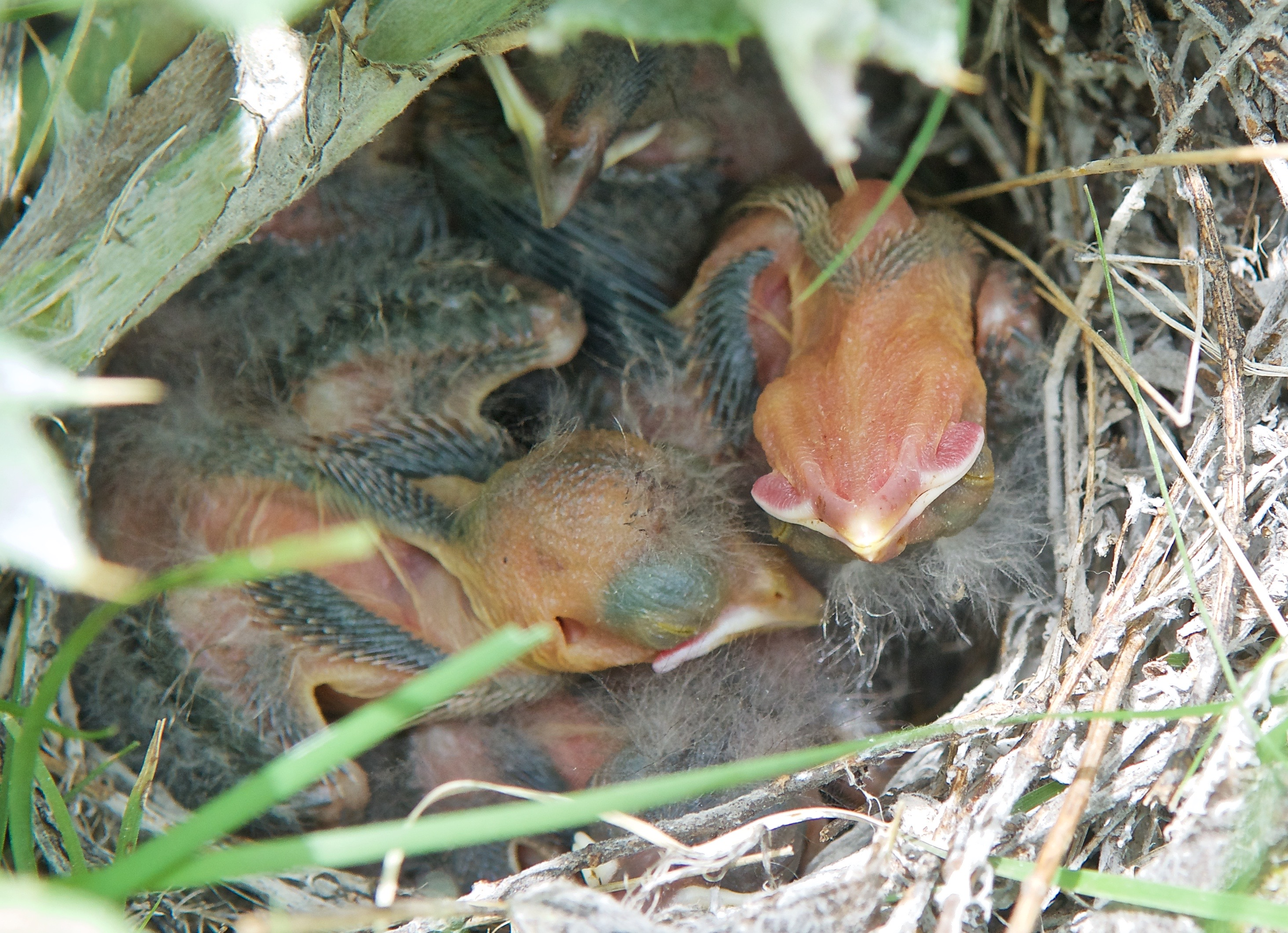 Babies in Lark Sparrow Nest