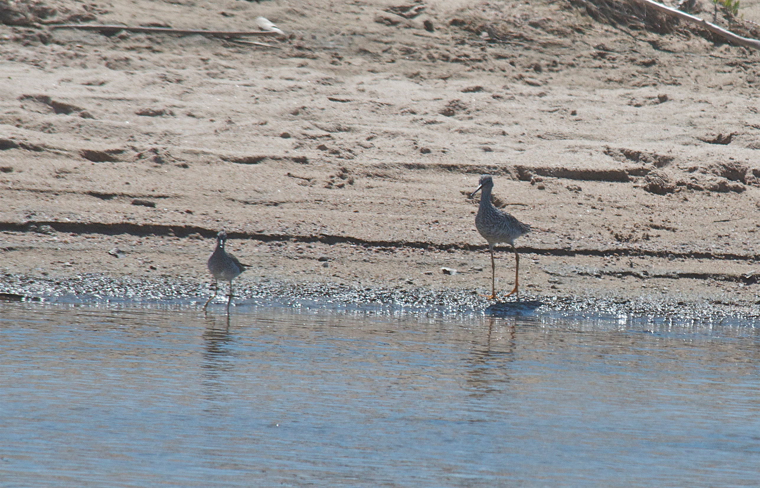 Lesser and Greeater Yellowlegs (shows size diference)