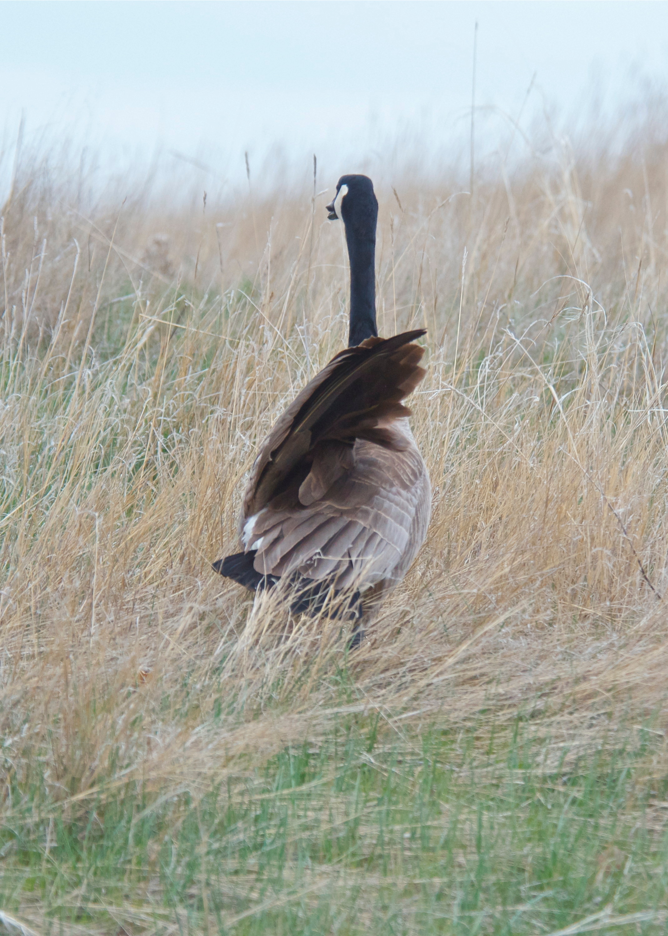 Canada Goose (Playing wounded)