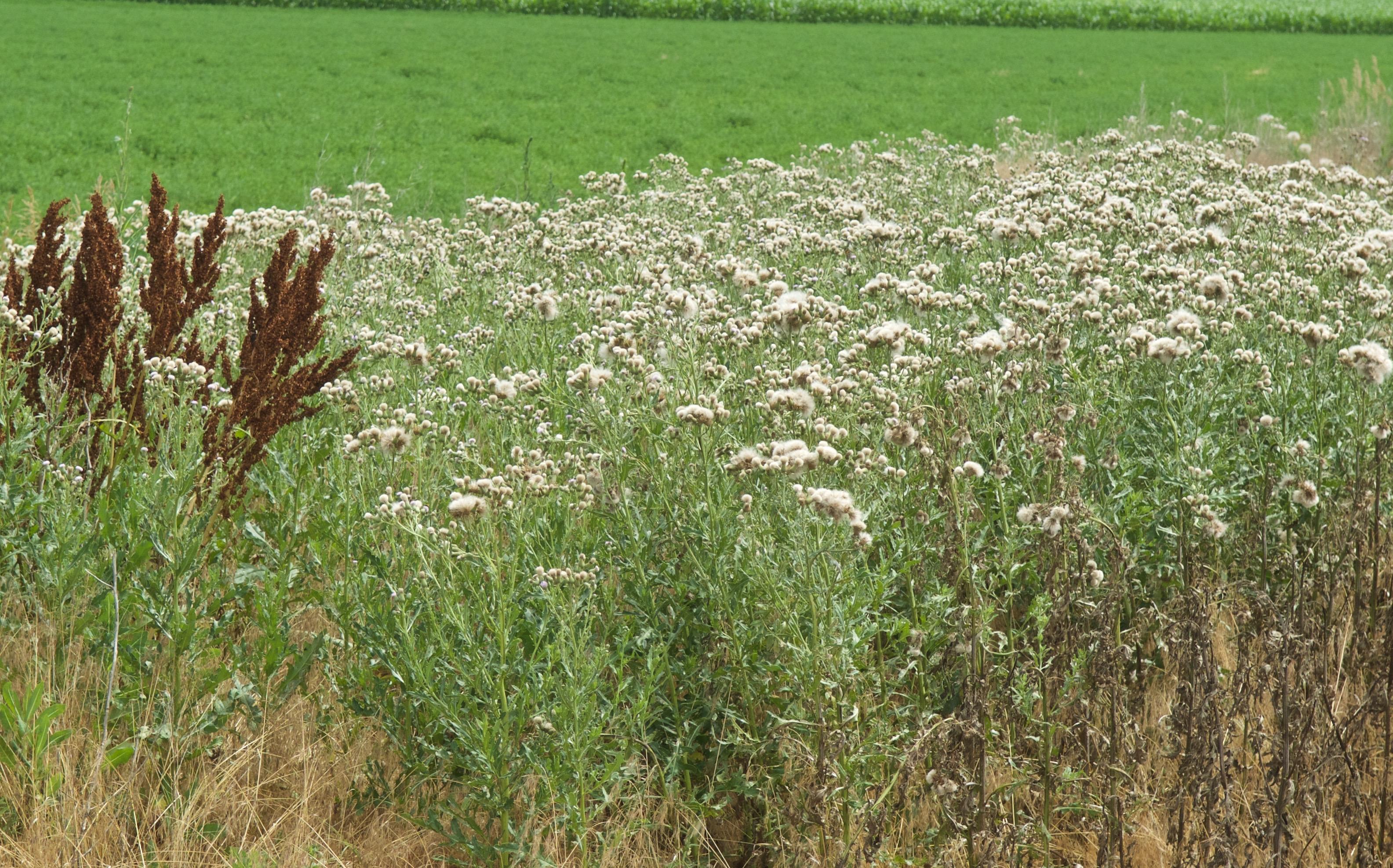 Canada Thistle (Cirsium arvense) in decline