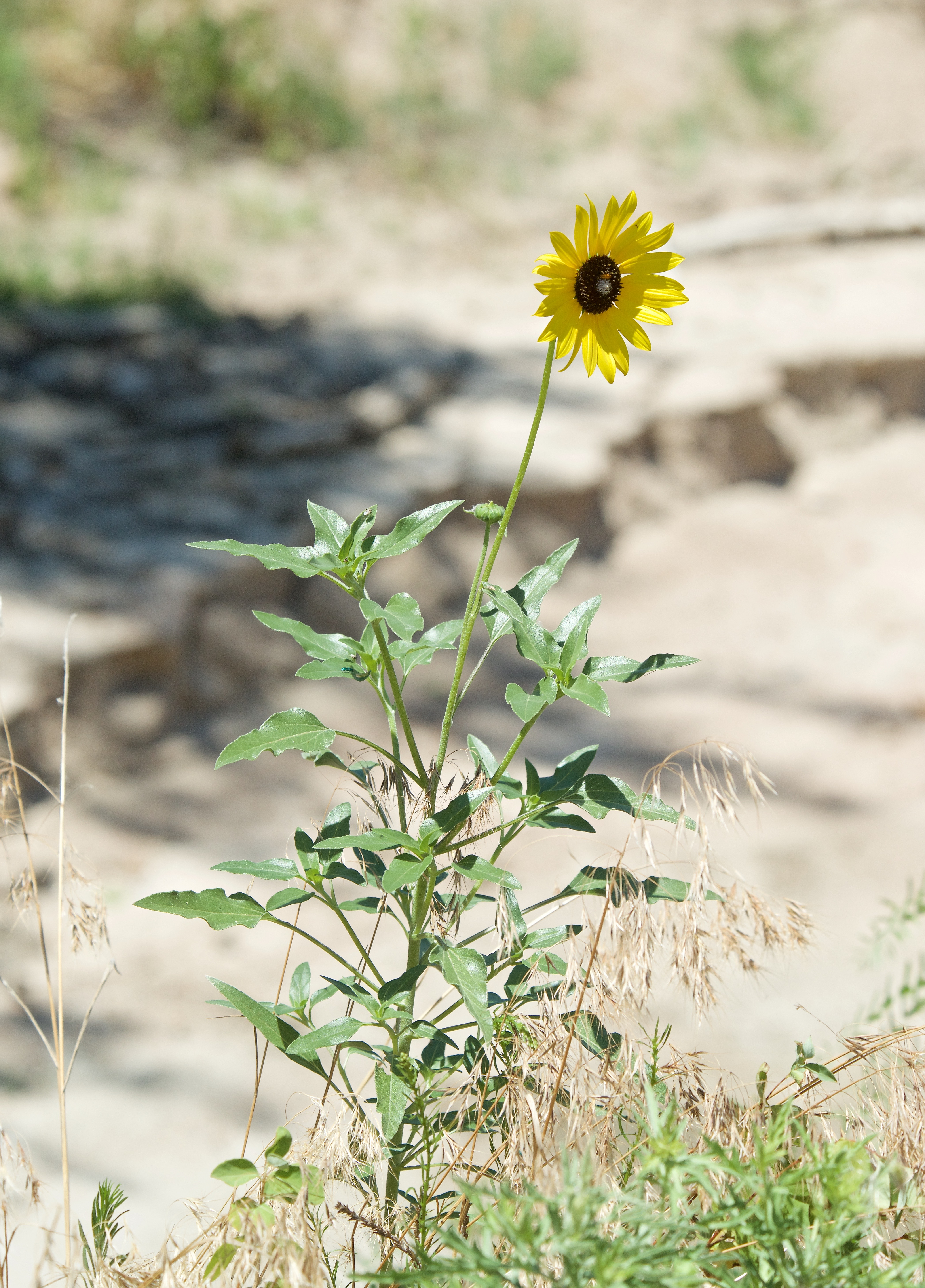 Prairie Sunflower (Helianthus petiolaris)