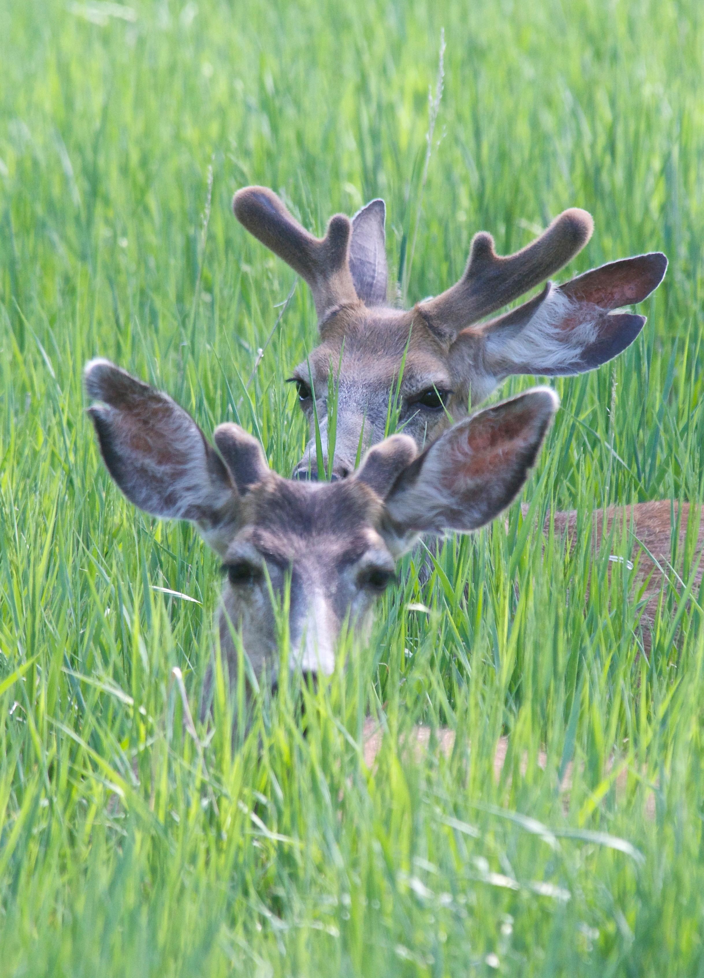 Mule Deer (L. Split Ear, 5-30-13)