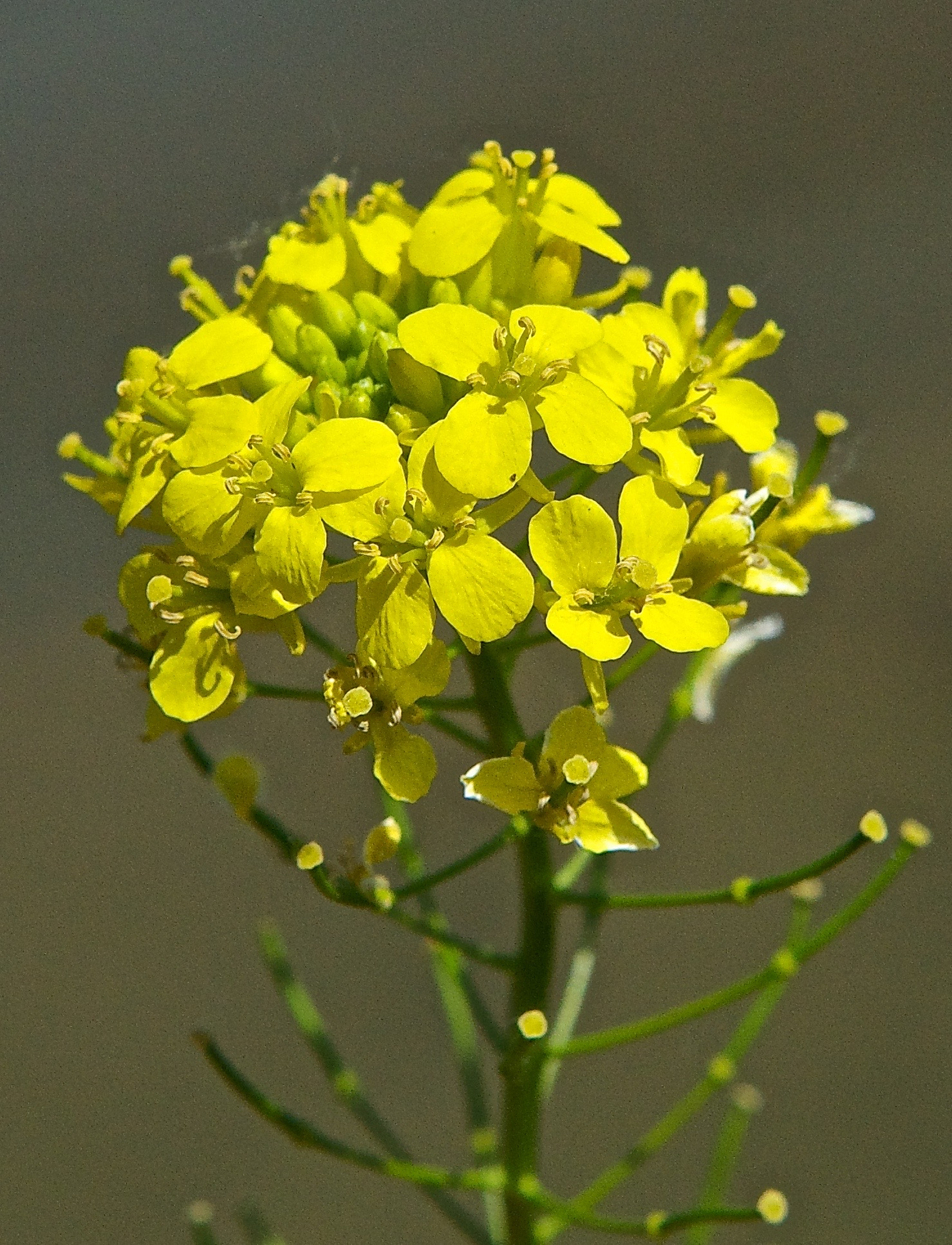 A Black Mustard (Introduced)