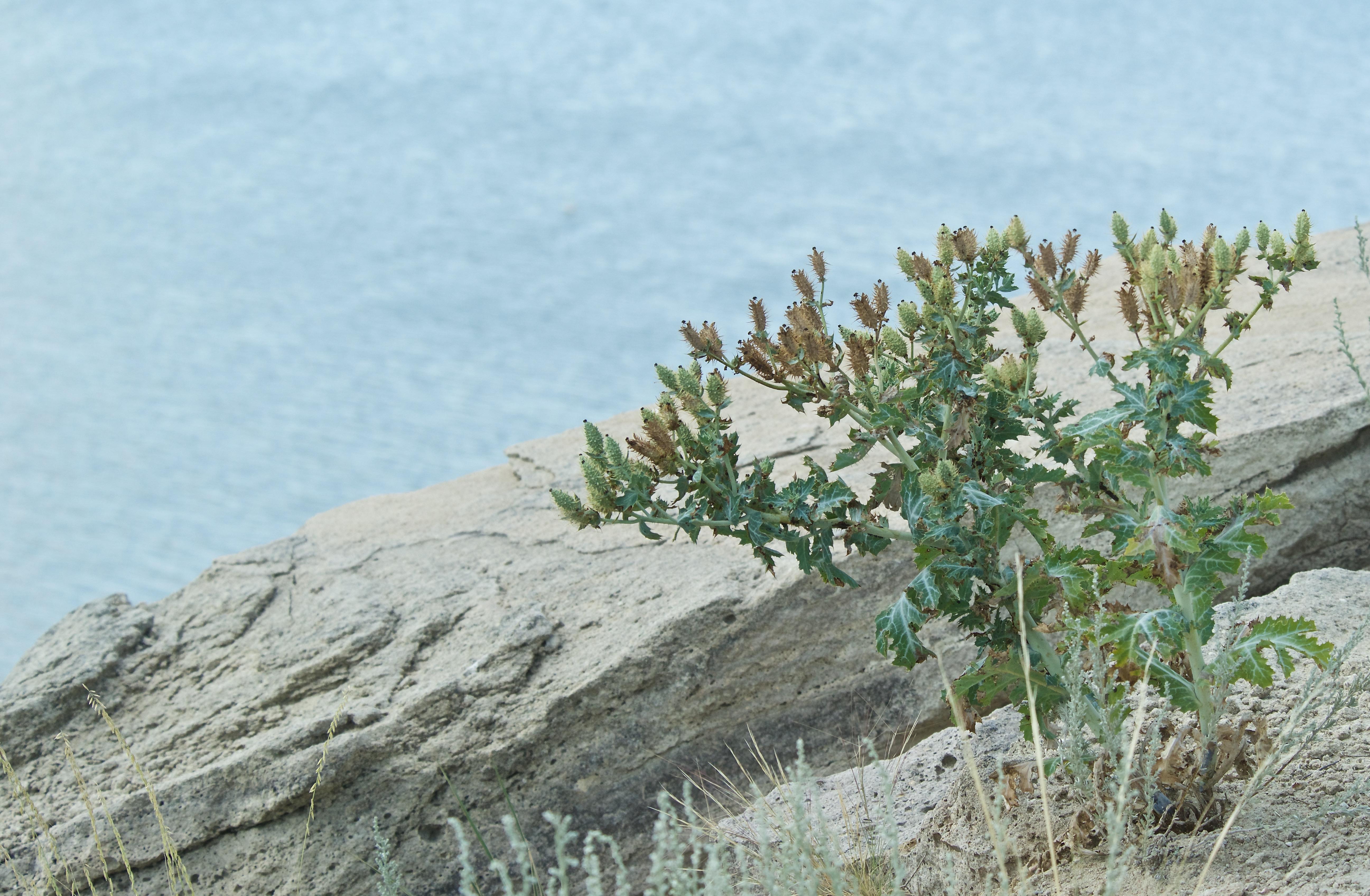 Prickly Poppy (Argemone polyanthemos) (In Decline)