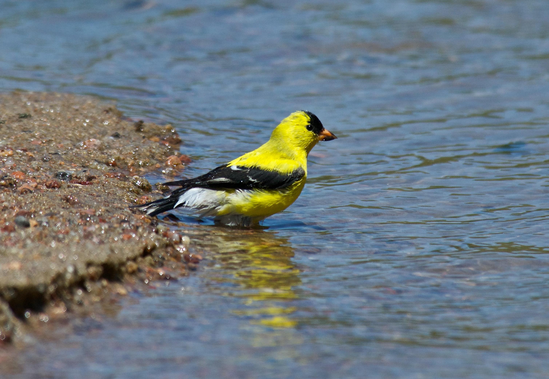 Am. Goldfinch