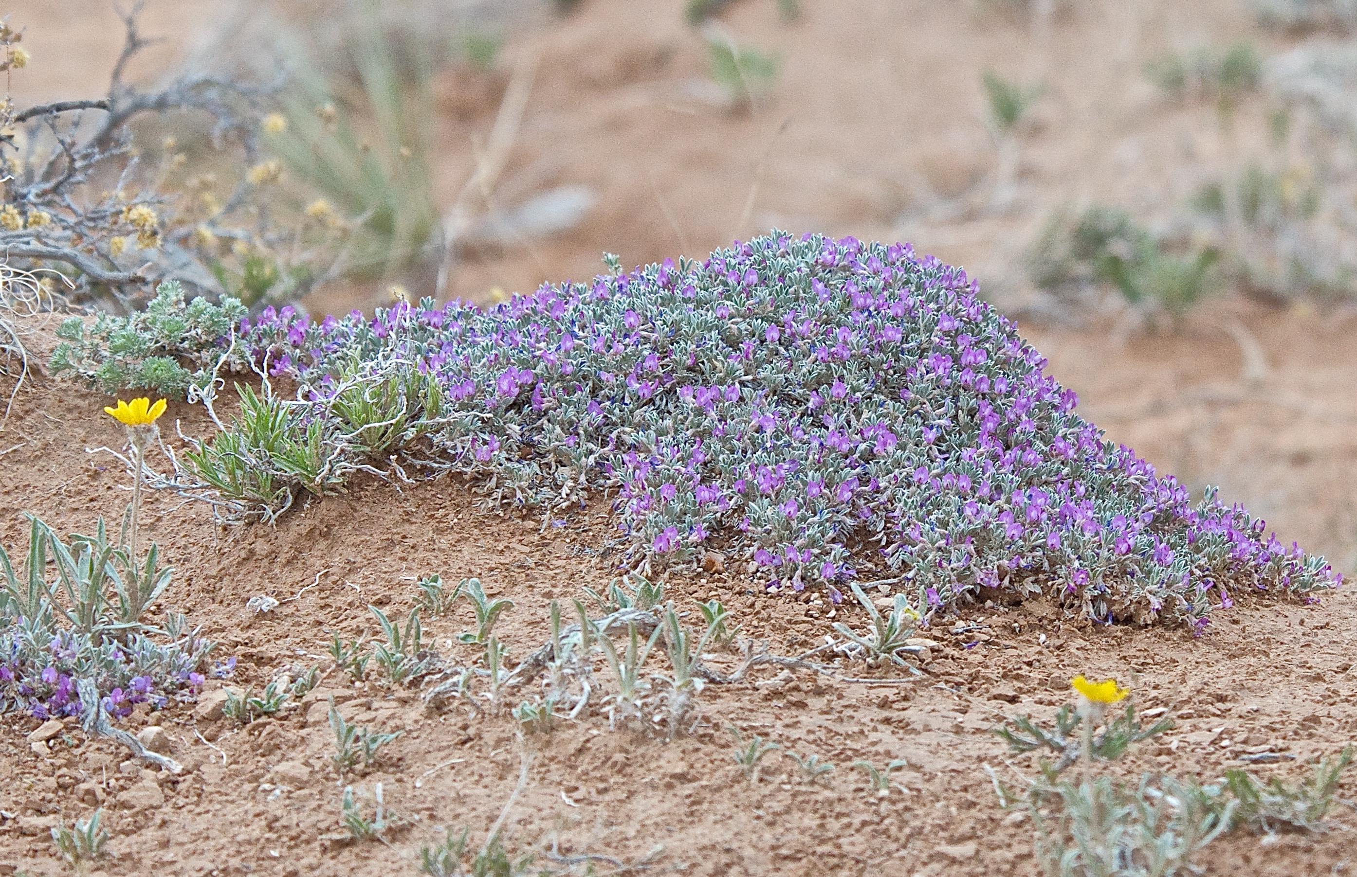 Silky Orophaeca (Orophaca sericea)
