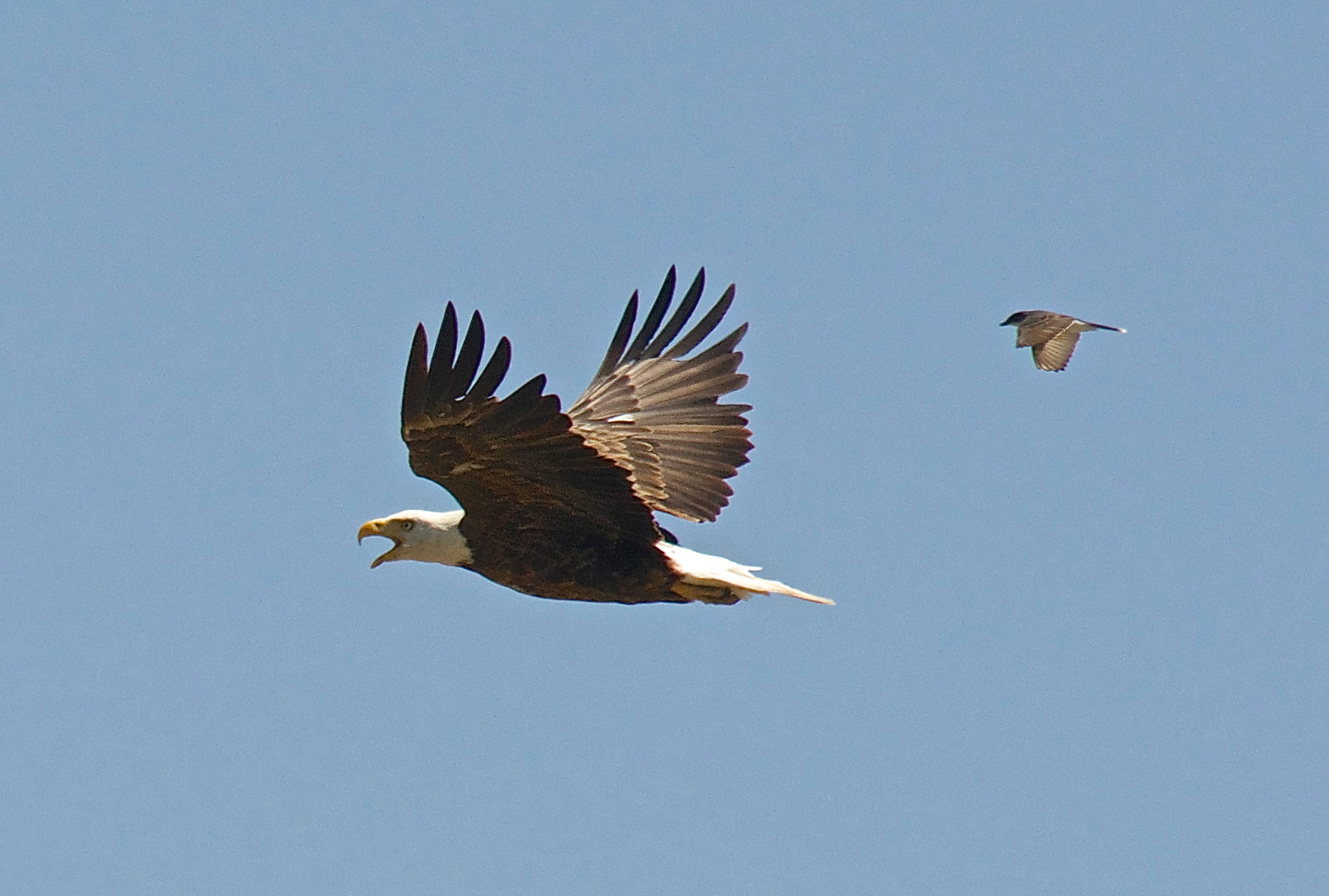 Bald Eagle harassed by Eastern Kingbird
