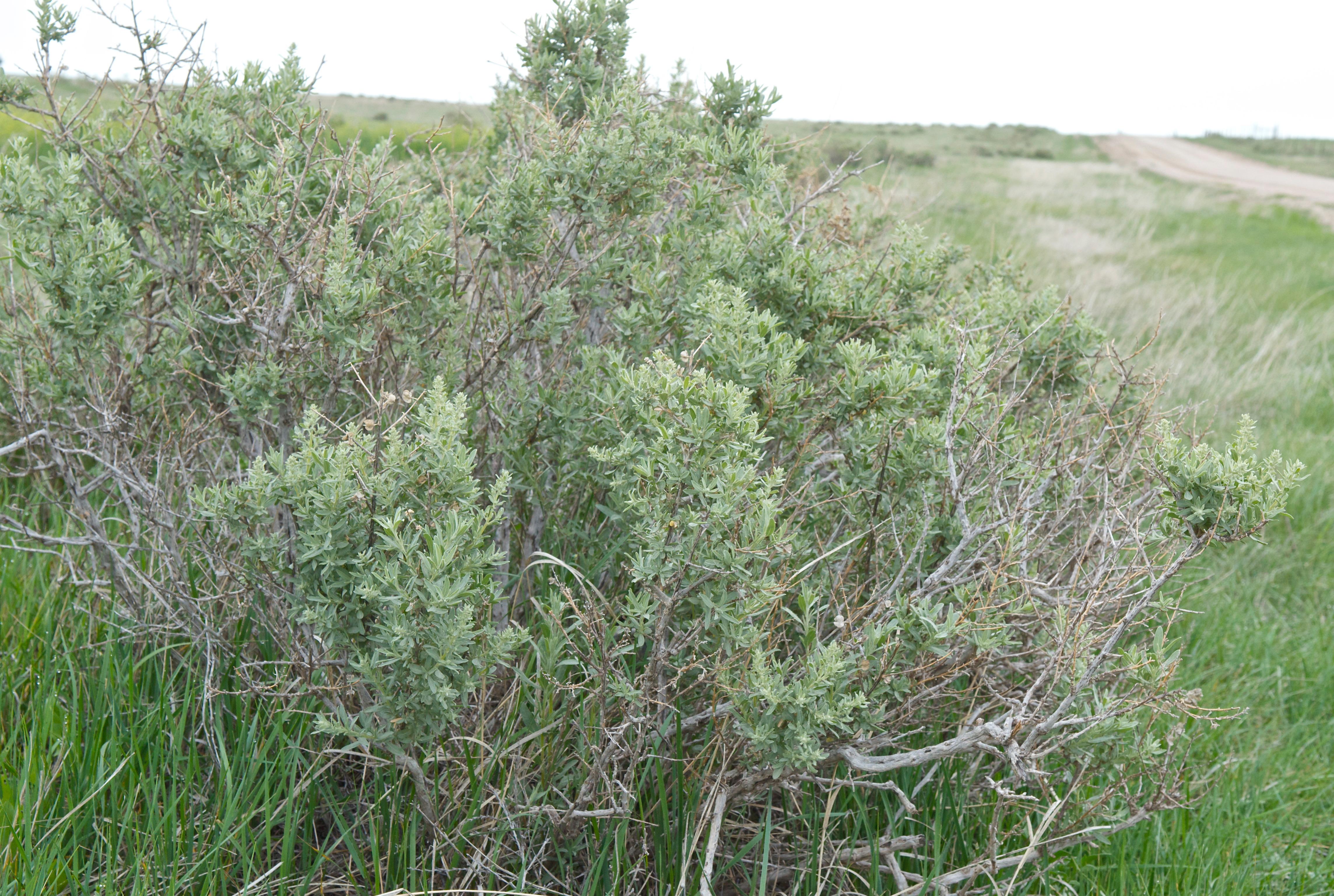 Four-Winged Saltbush (Atriplex canescens)
