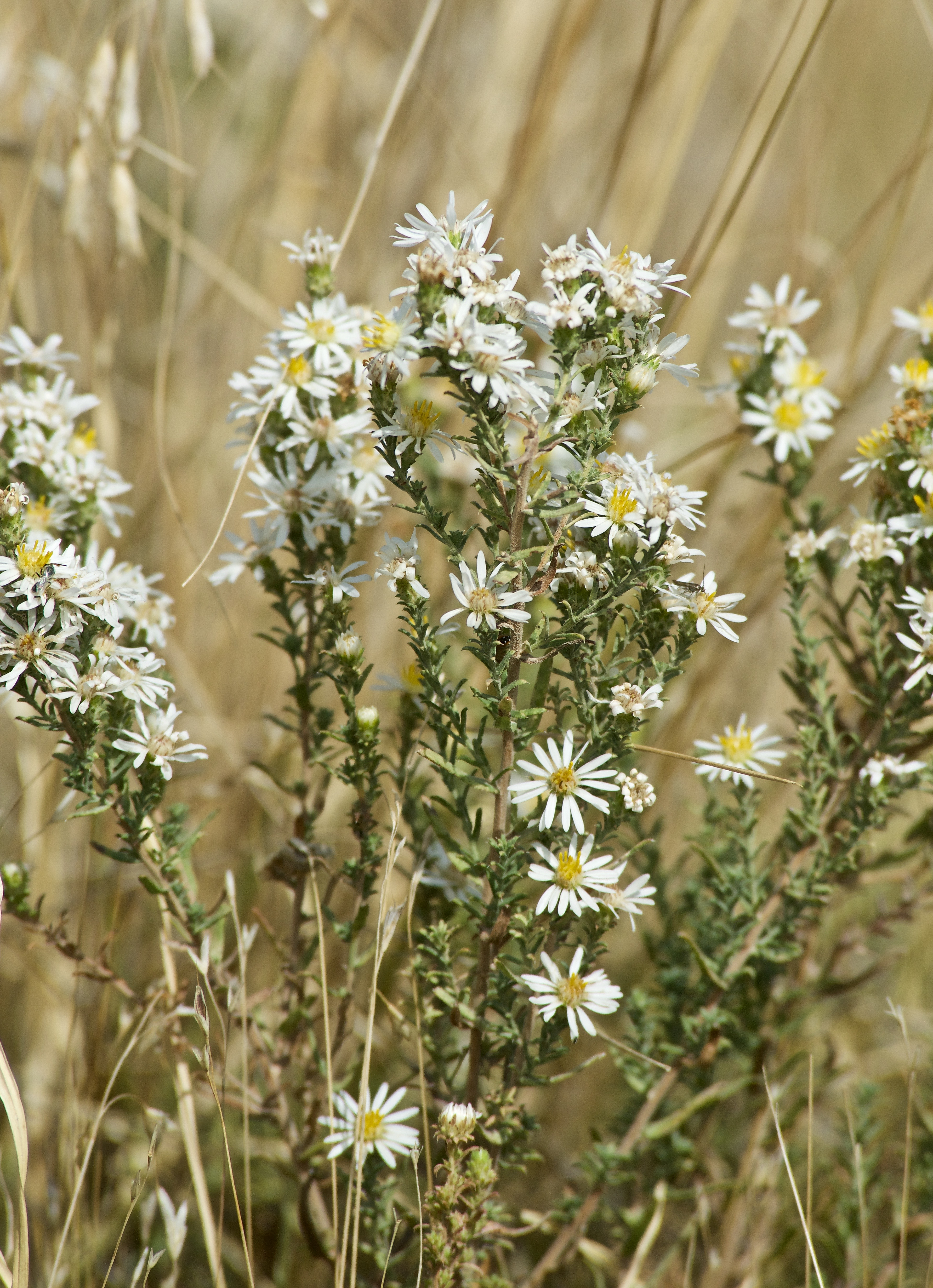 White Prairie Aster (Symphyotrichum falactum) ?