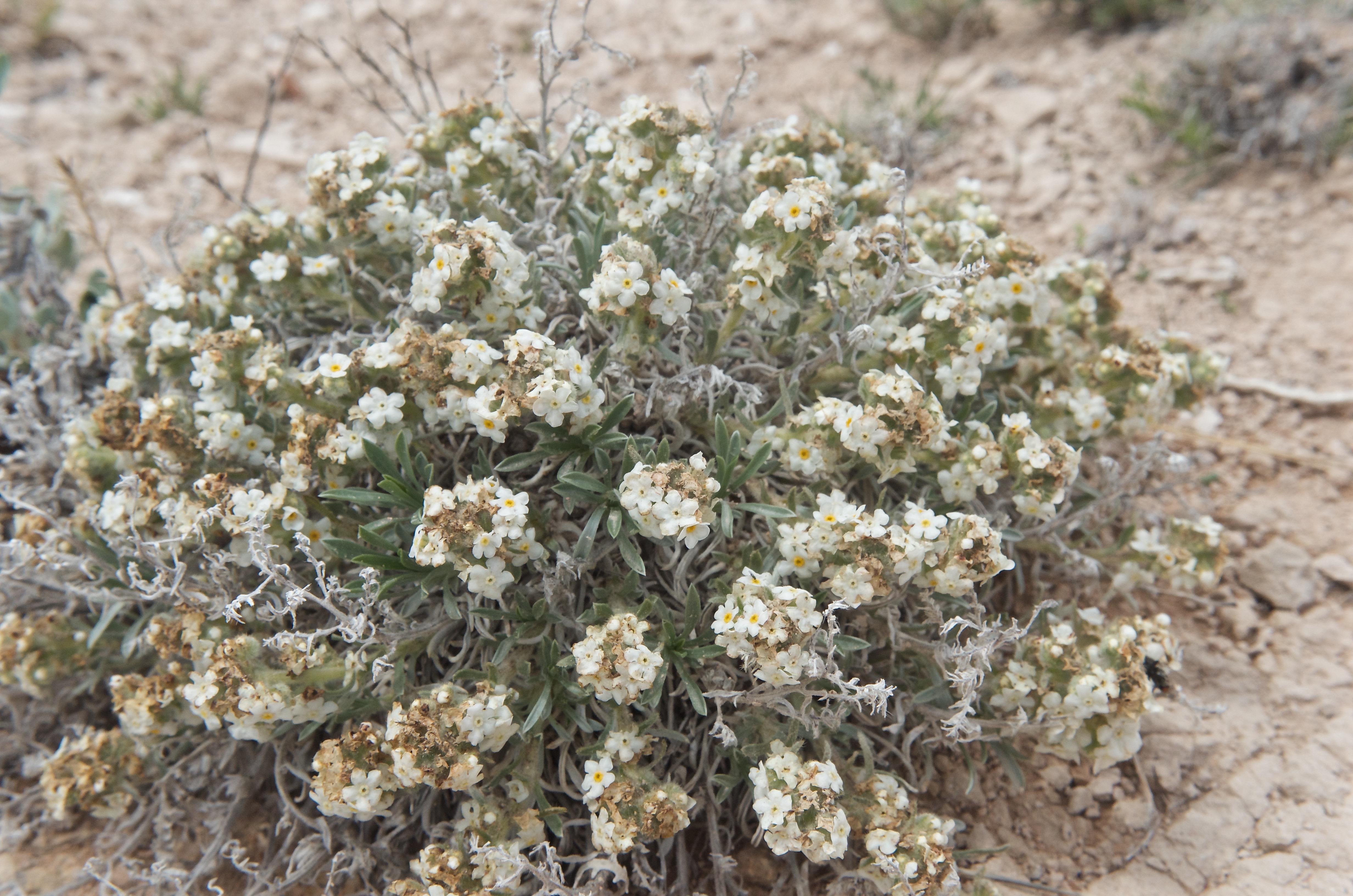Oreocarya (Calcareous Cryptantha)?